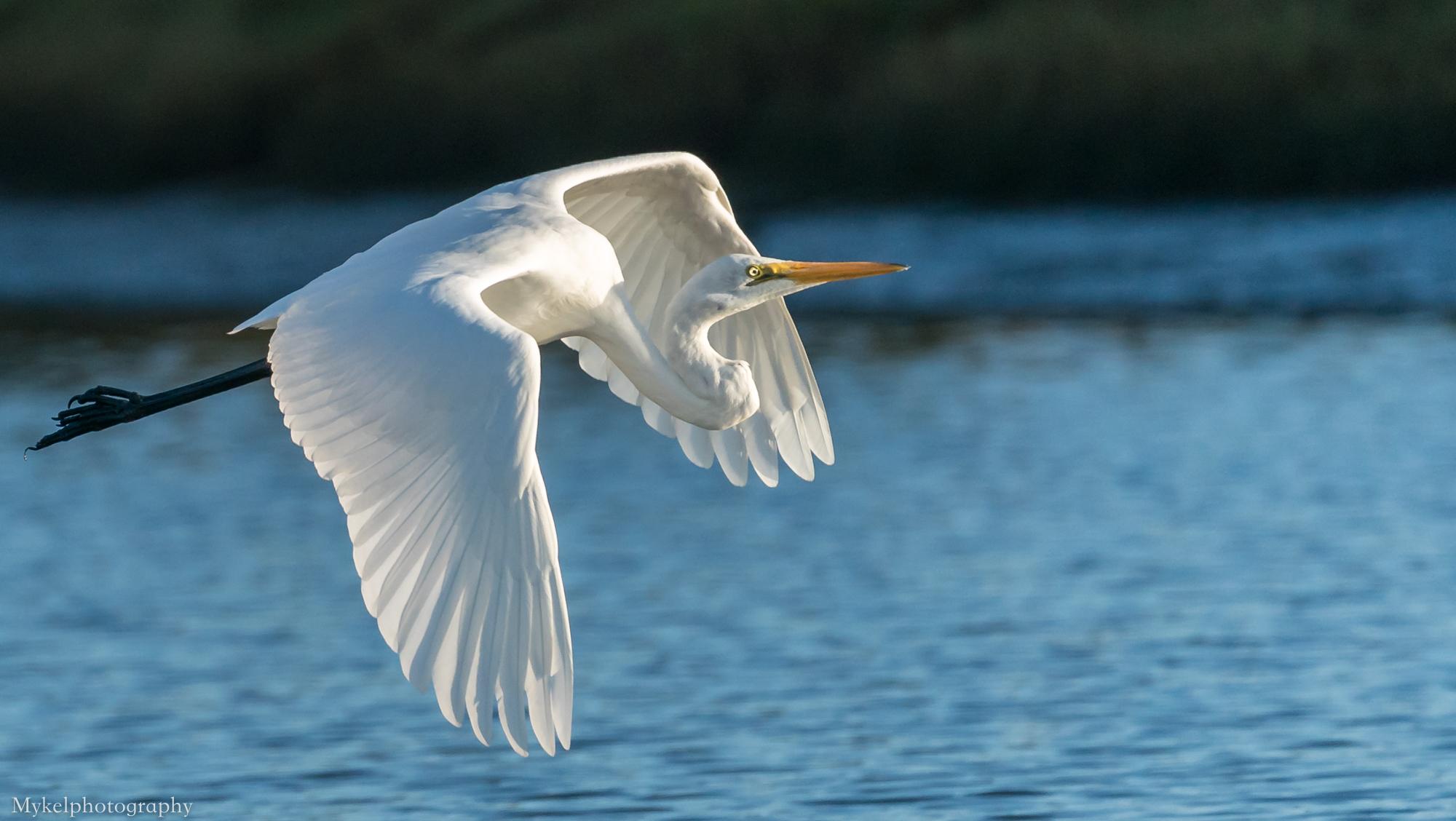 Eastern Great Egret, Ardea modesta Ardeidae