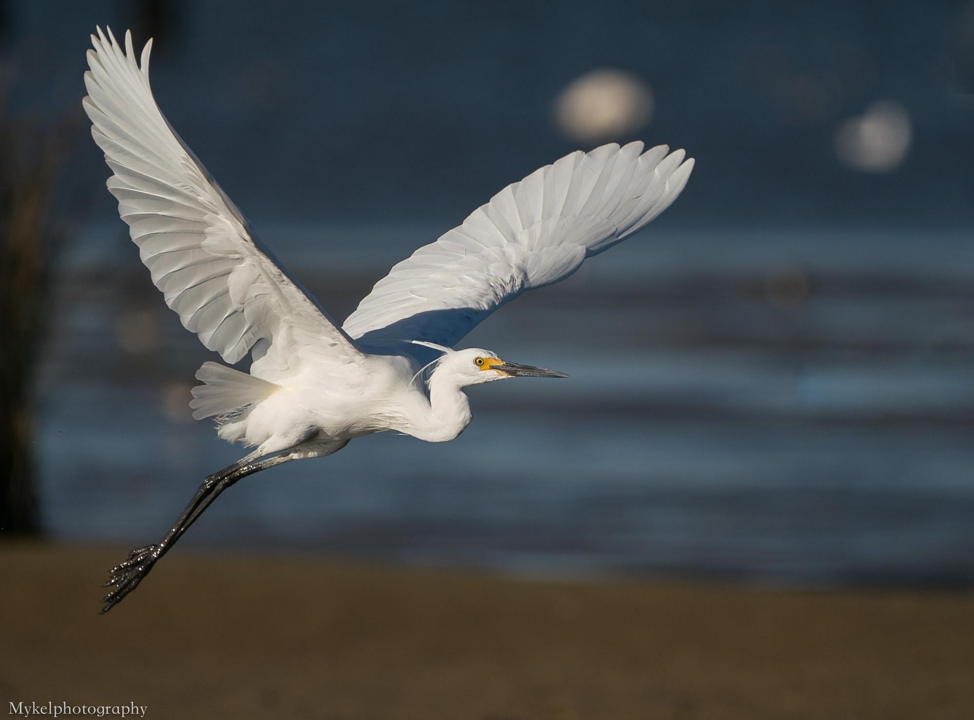 Little Egret, Egretta garzetta Ardeidae