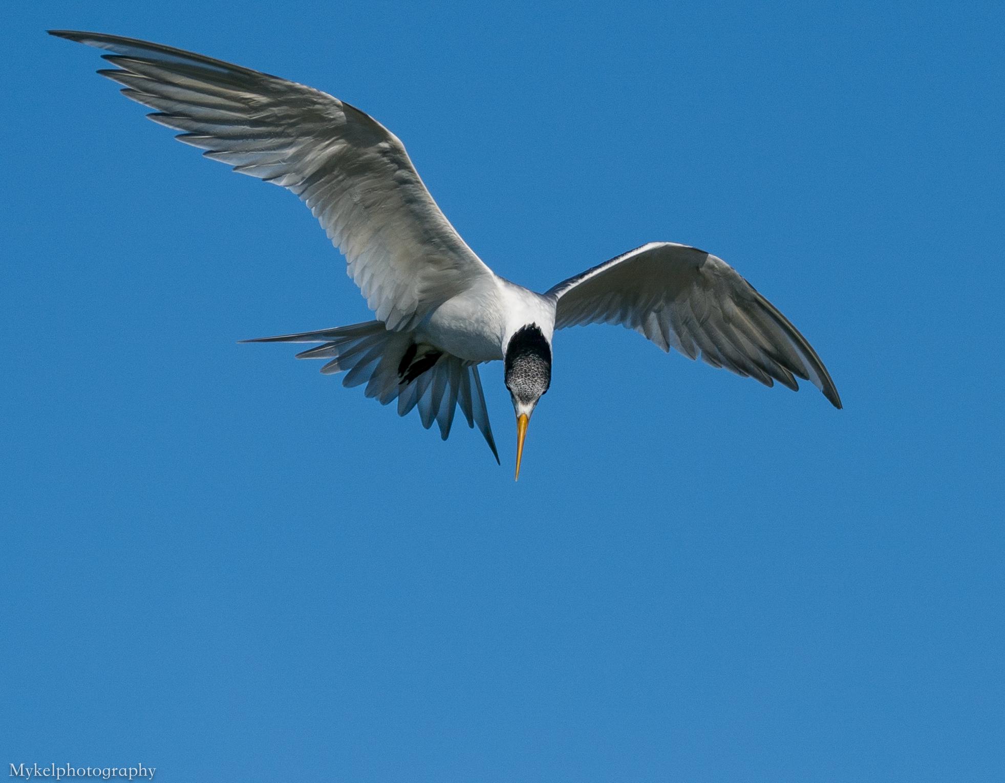 Little Tern, Sternula albifrons Laridae