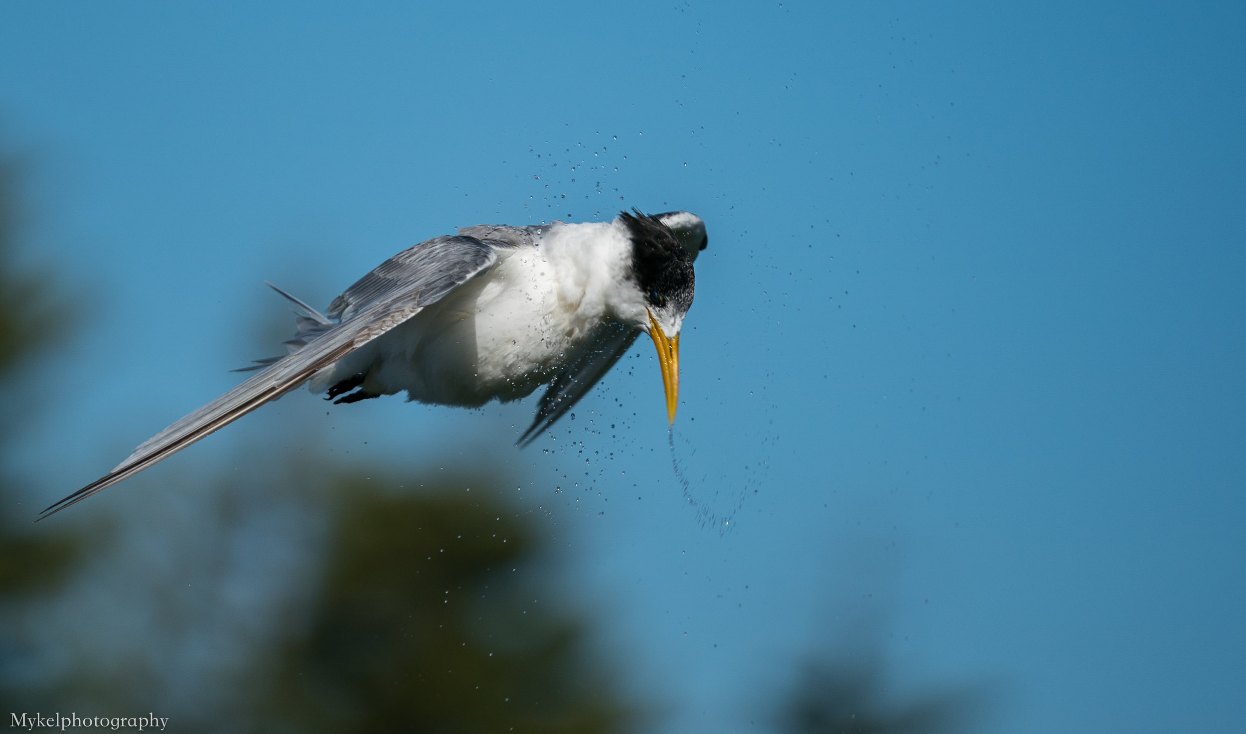 This is how to perform the tern twist... they need to do this to exhale all the water swallowed on a dive