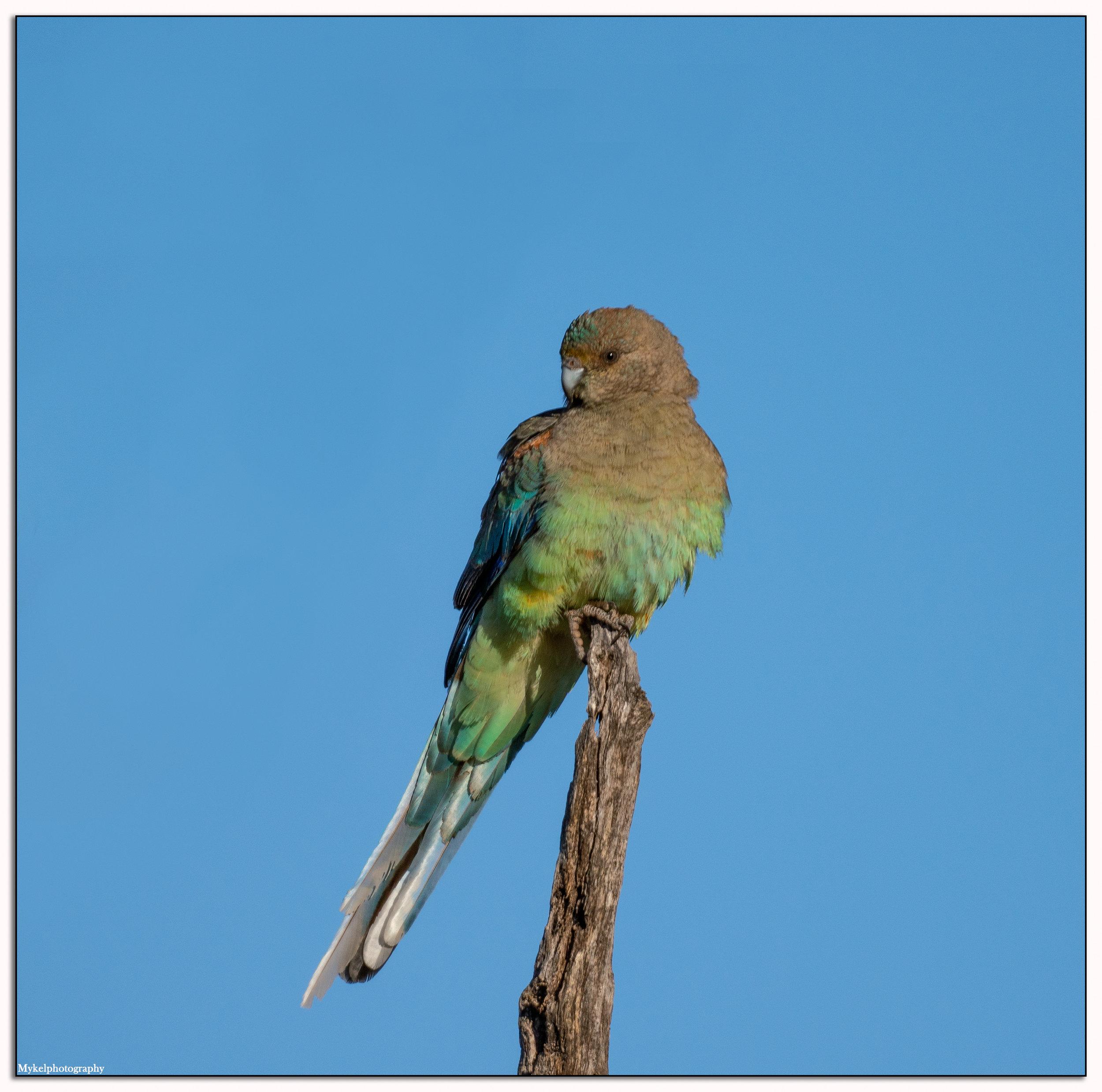 Mulga Parrot (female)