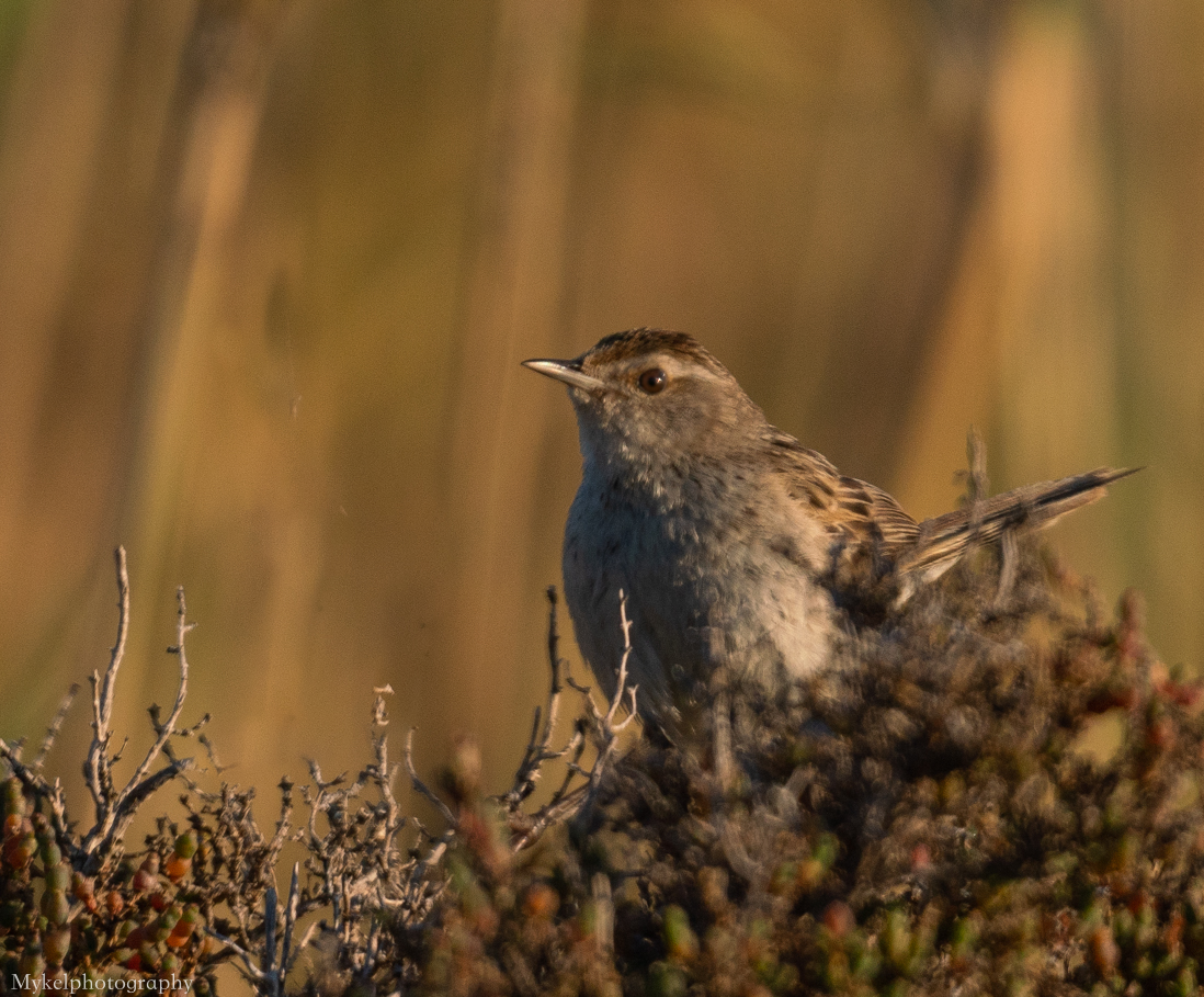Little Grassbird Megalurus gramineus Megaluridae