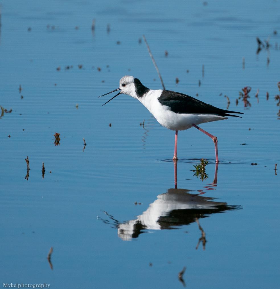 Black-winged Stilt Himantopus himantopus Recurvirostridae