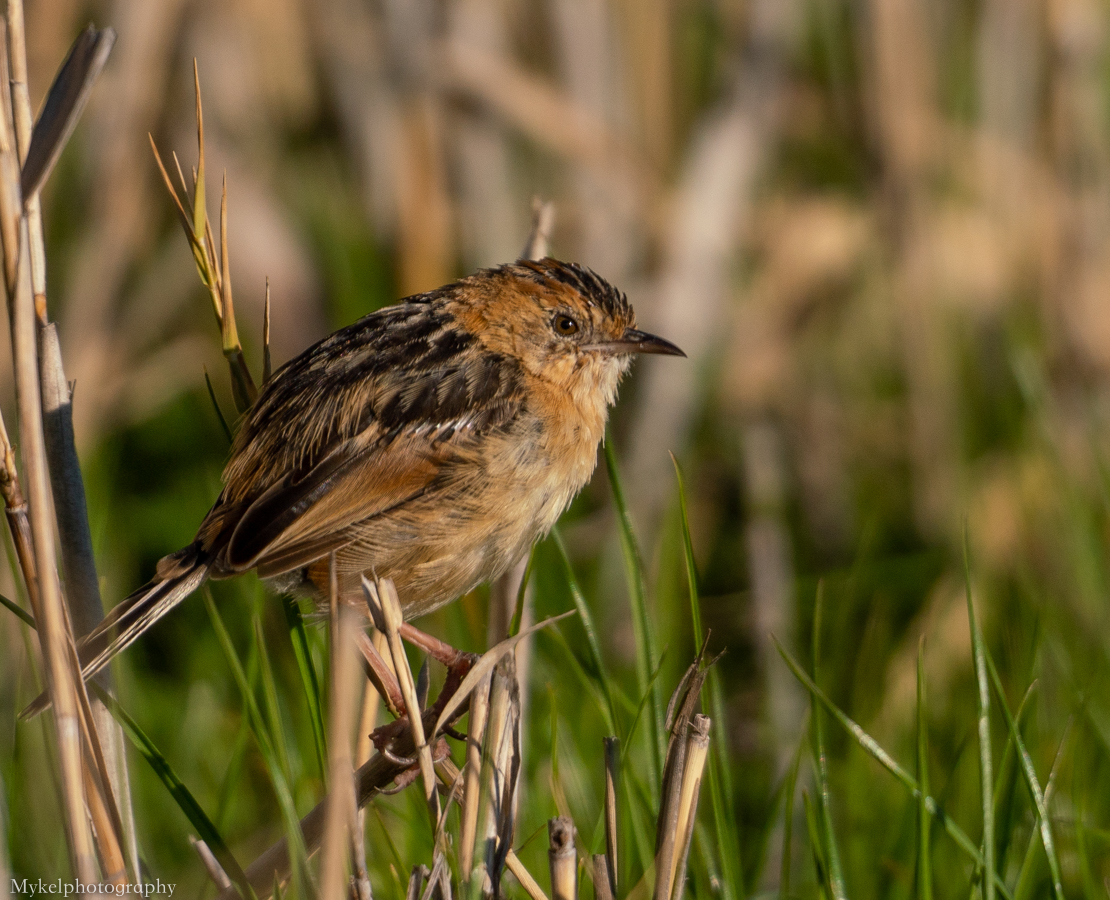 Golden-headed Cisticola Cisticola exilis Cisticolidae