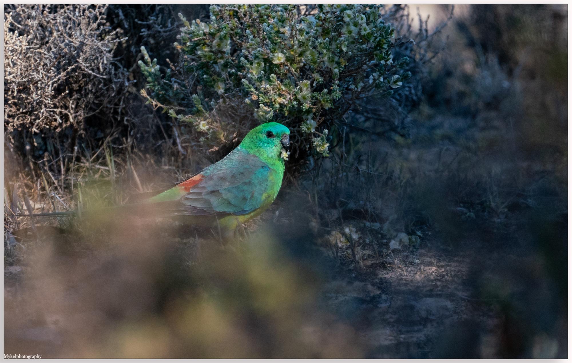Red-rumped Parrot Psephotus haematonotus Psittacidae