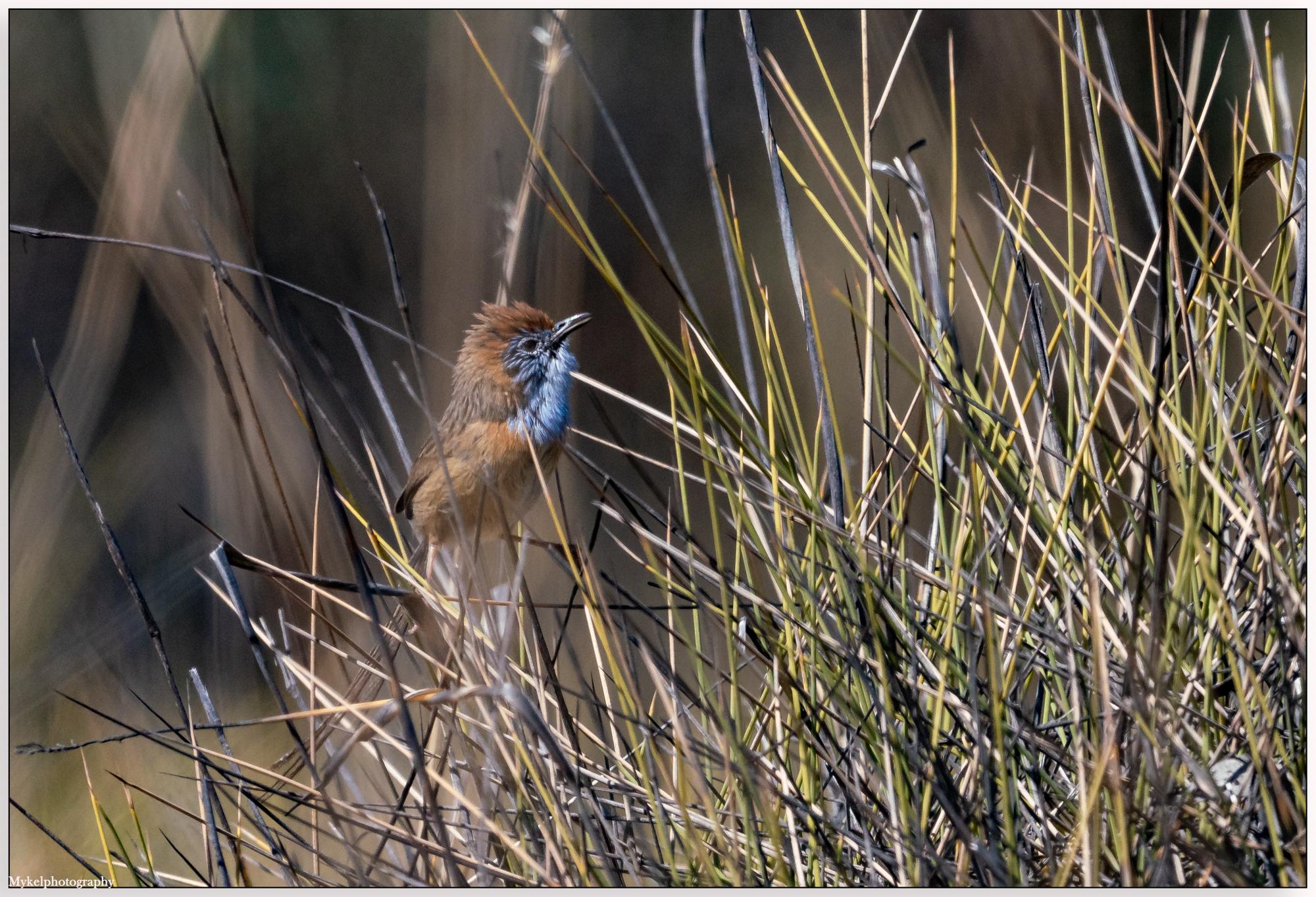 Mallee Emu-wren Stipiturus mallee Maluridae (Male)