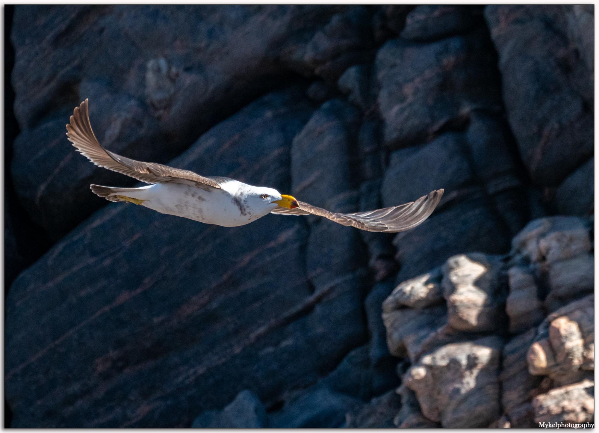 Pacific Gull Larus pacificus Laridae