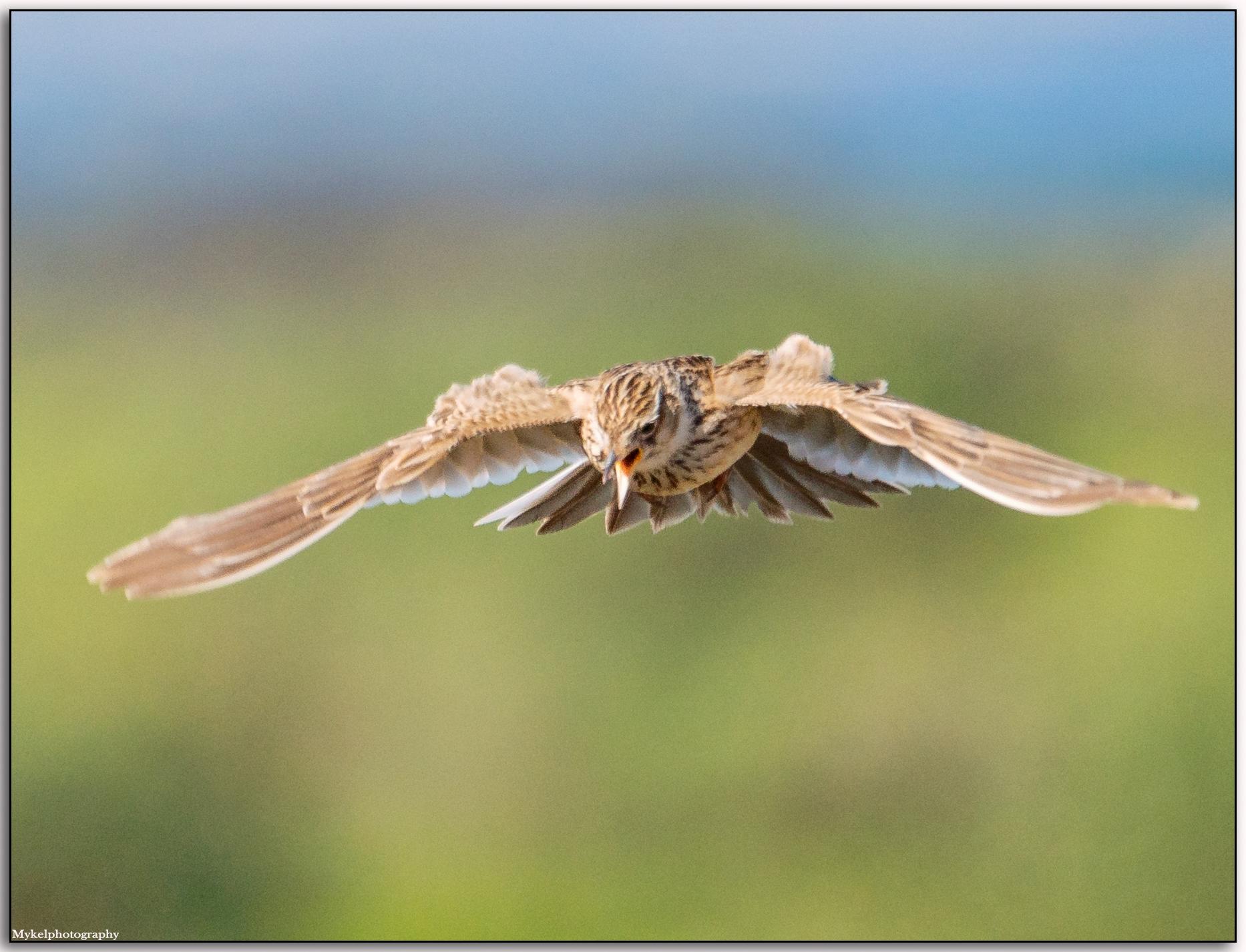 Eurasian Skylark Alauda arvensis Alaudidae