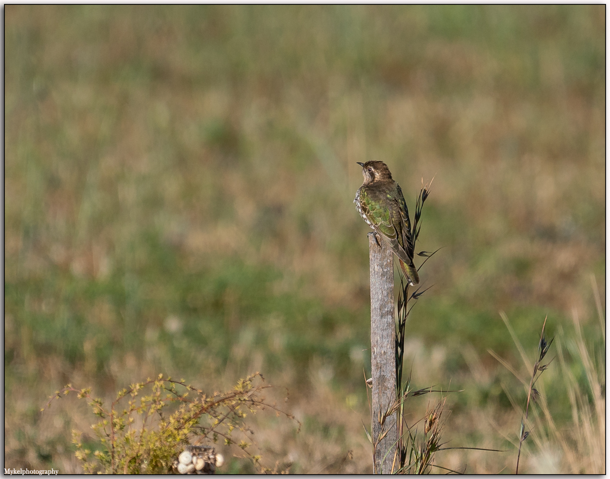 Horsfield's Bronze-Cuckoo Chalcites basalis Cuculidae