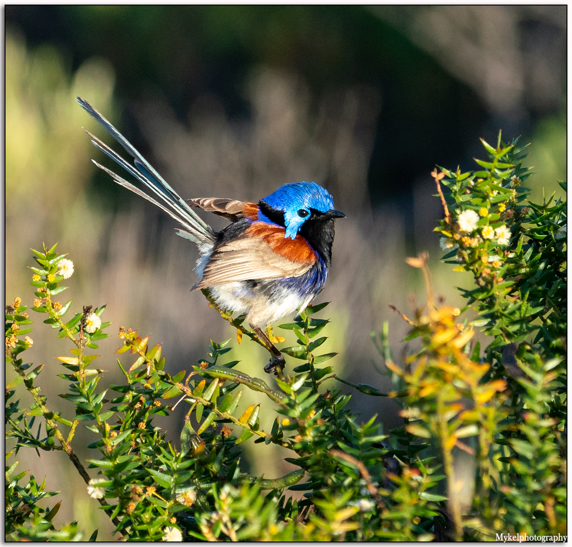 Stunning birds just in the gardens on this beautiful 300 acre property, Variegated Fairy Wren