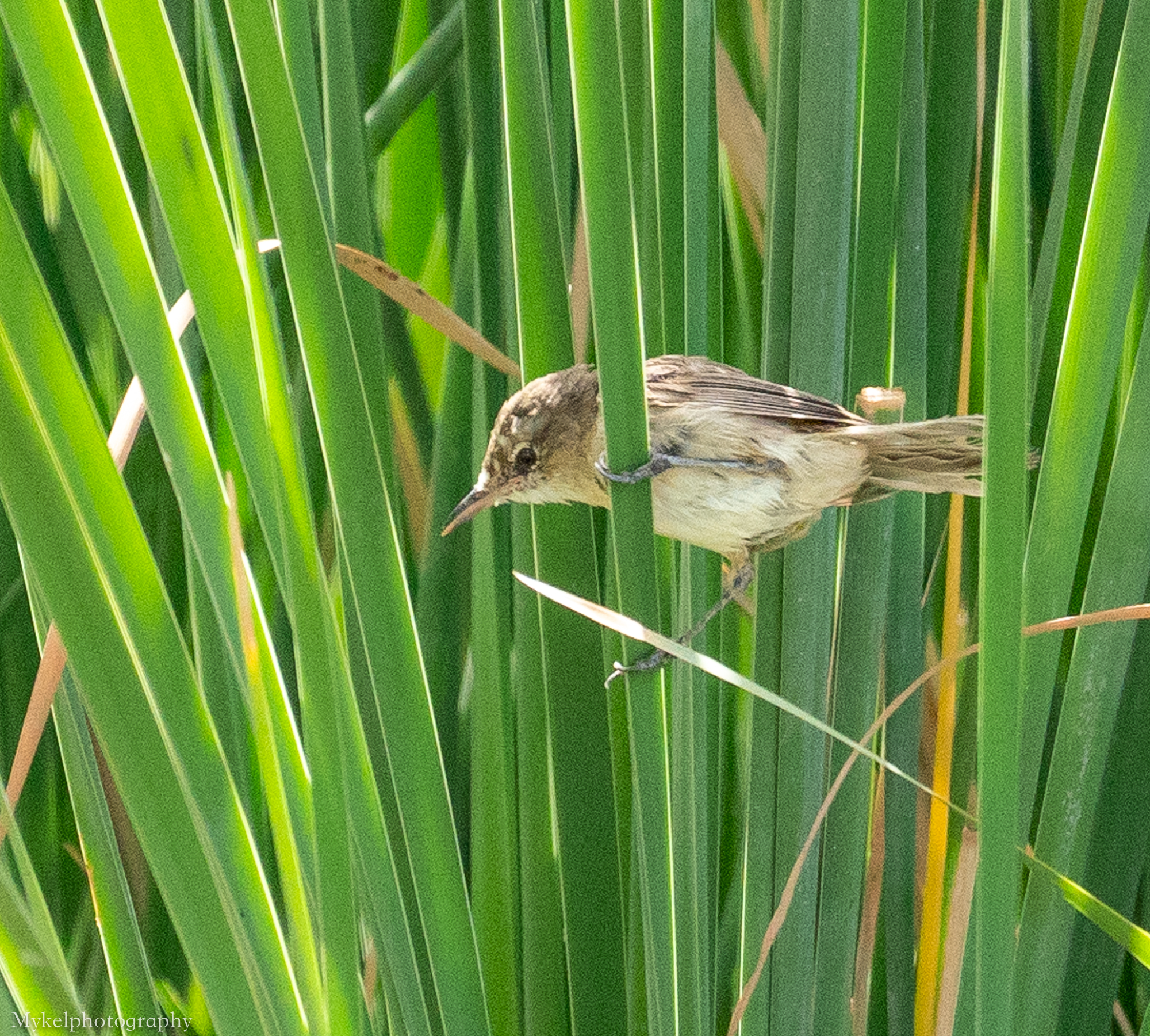 Australian Reed-Warbler  Acrocephalus australis  Acrocephalidae
