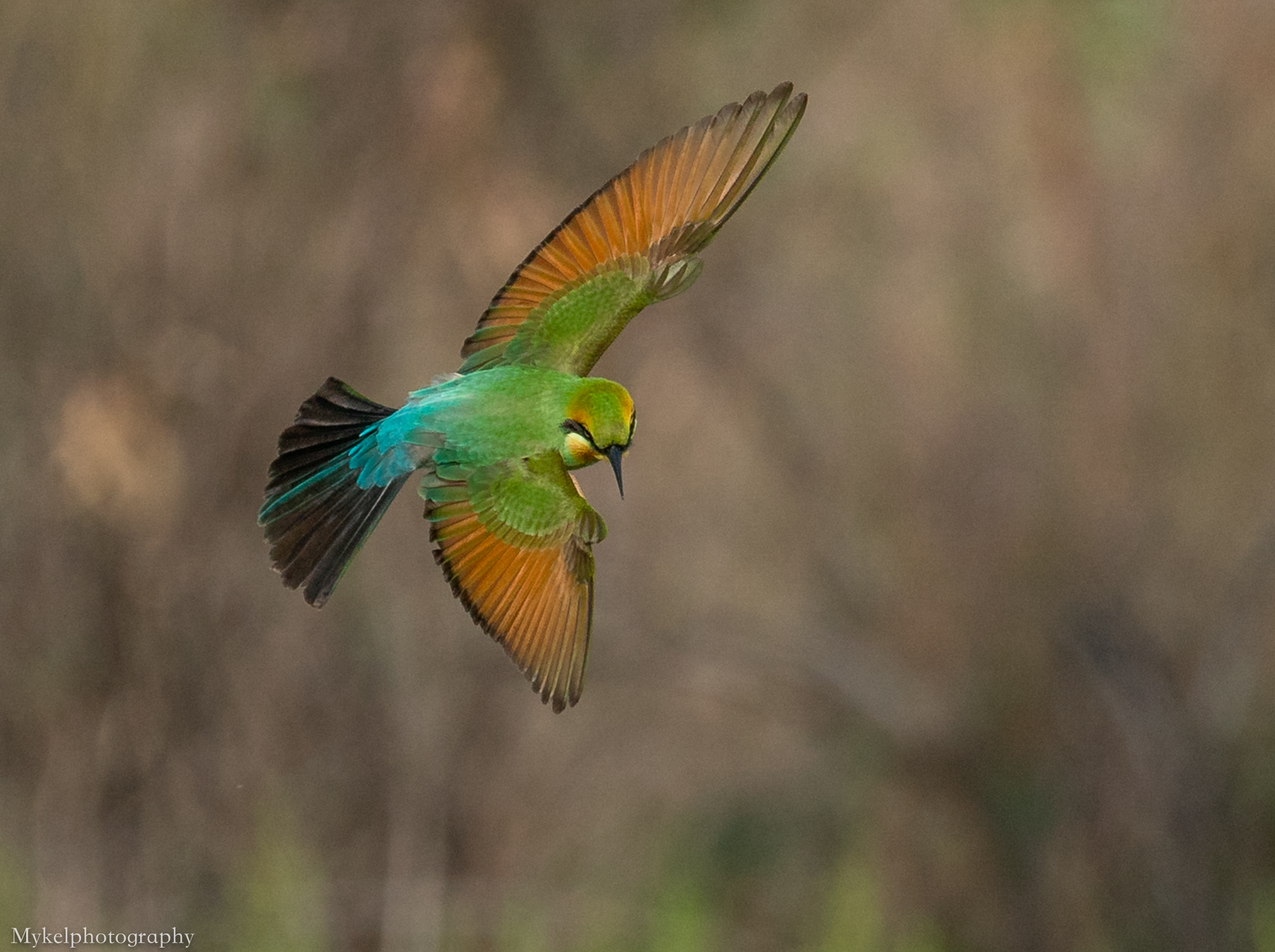 Rainbow Bee-eater  Merops ornatus  Meropidae