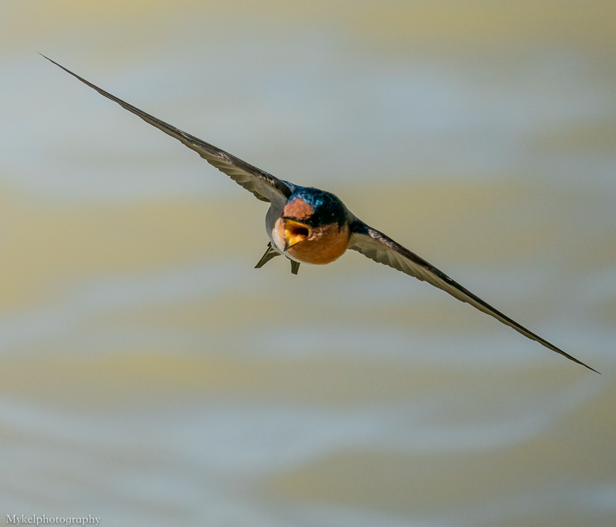 Welcome Swallow  Hirundo neoxena  Hirundinidae