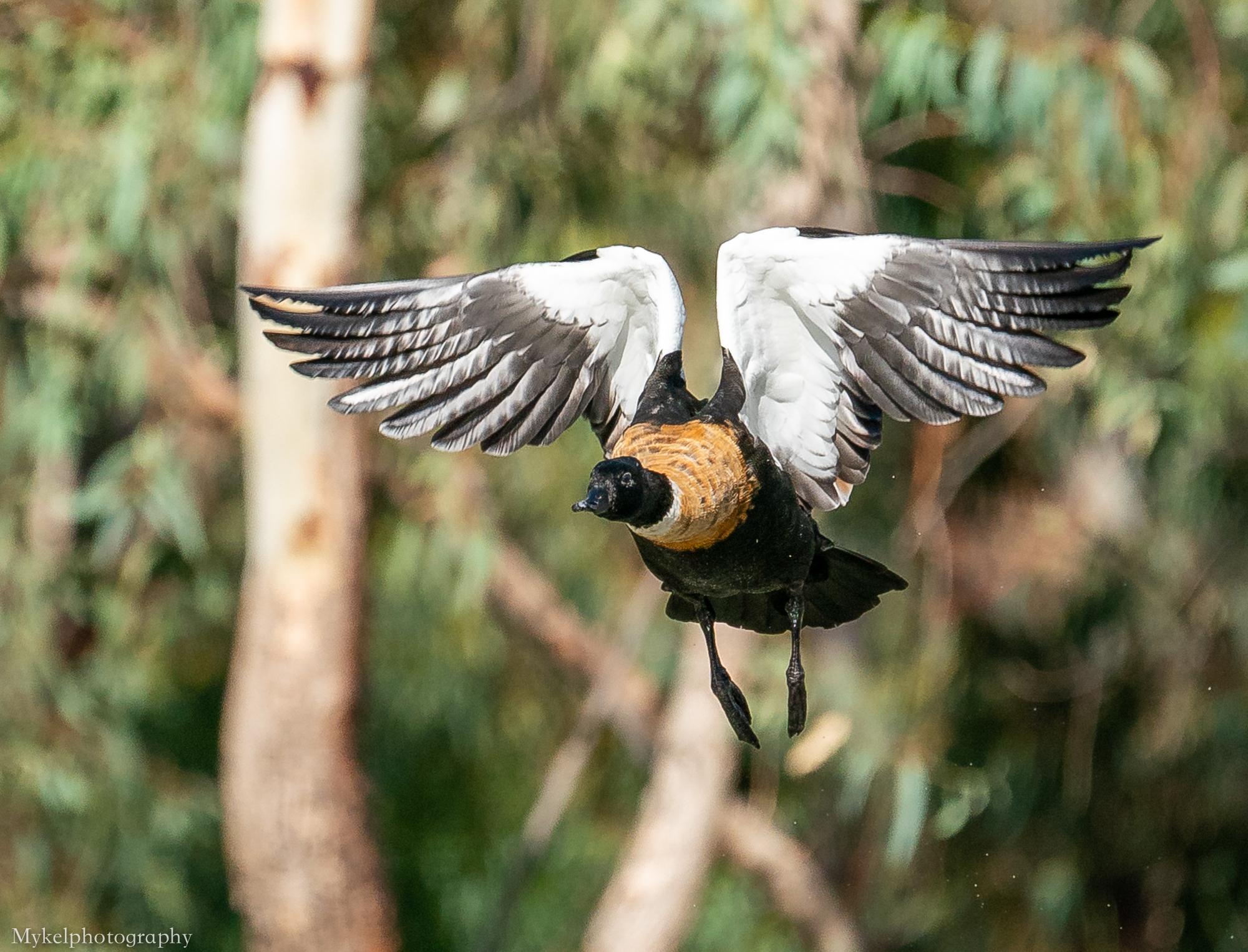 Australian Shelduck  Tadorna tadornoides  Anatidae