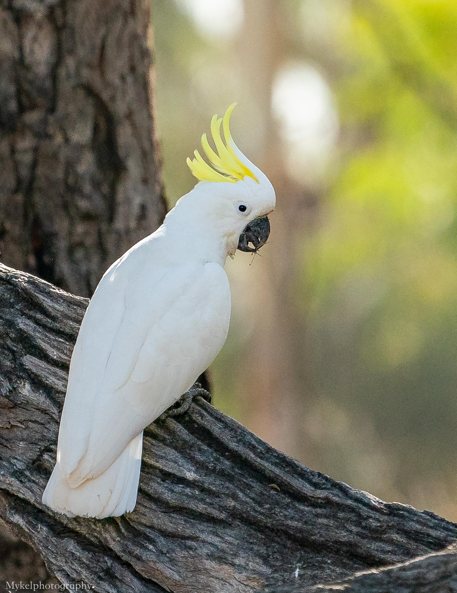 Sulphur-crested Cockatoo Cacatua galerita Cacatuidae