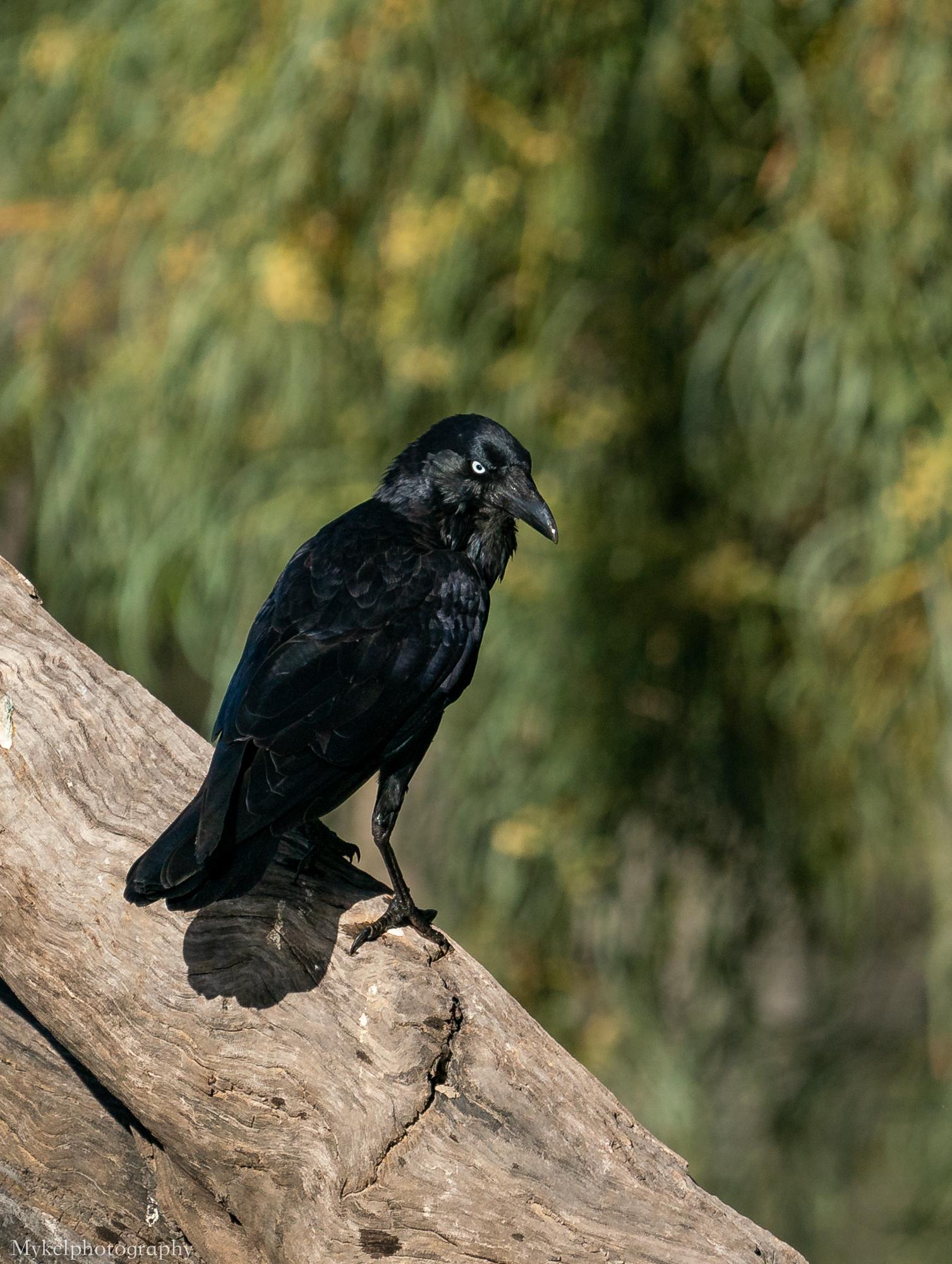 Australian Raven  Corvus coronoides  Corvidae