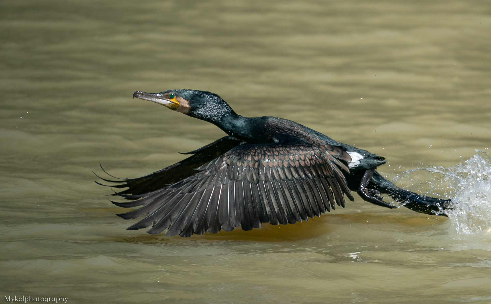 Great Cormorant  Phalacrocorax carbo  Phalacrocoracidae