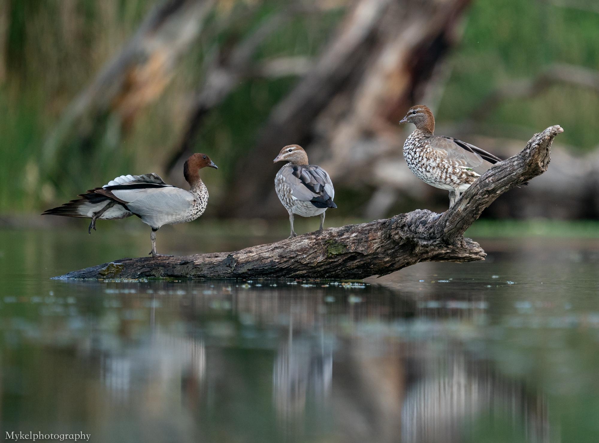 Australian Wood Duck  Chenonetta jubata  Anatidae