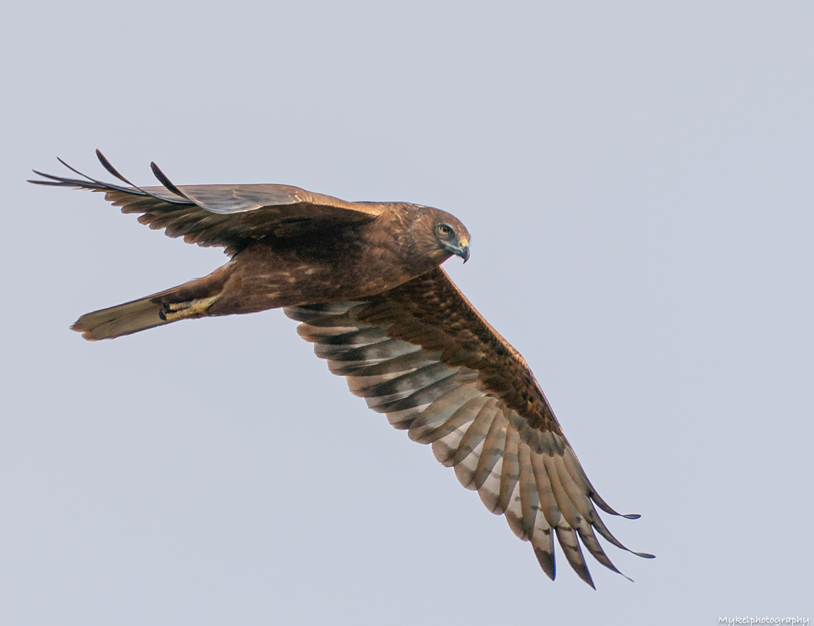 Swamp Harrier   Circus approximans  Accipitridae