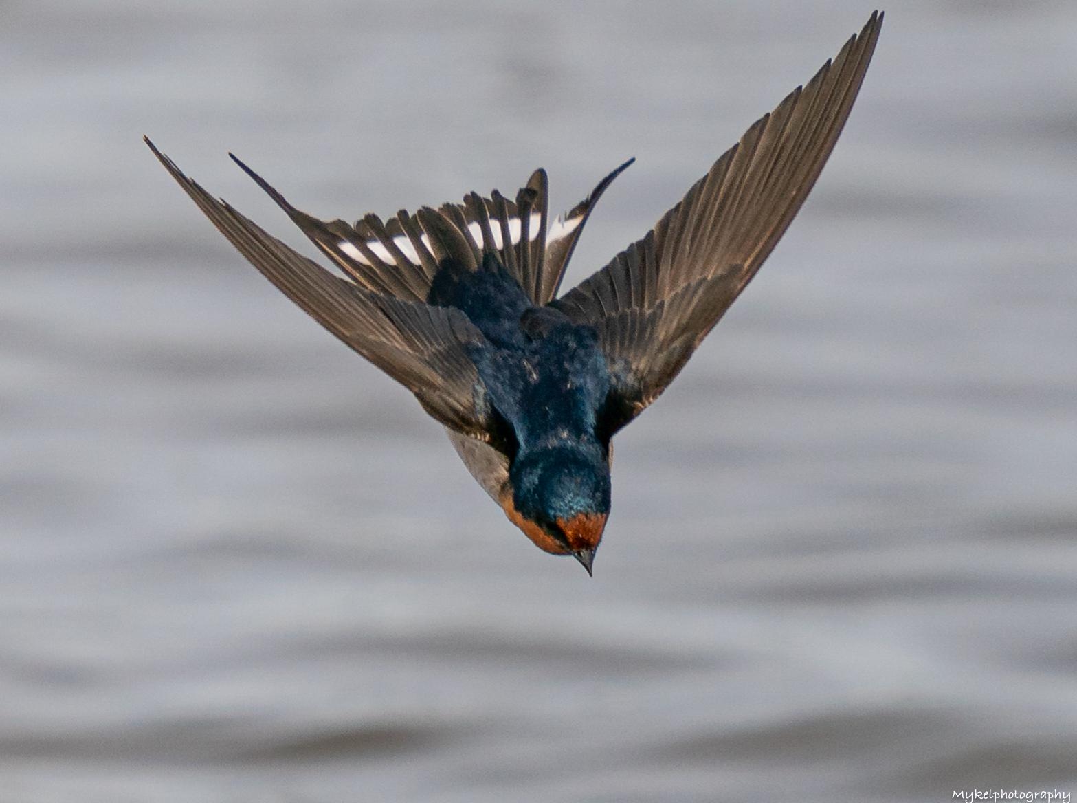 Welcome Swallow   Hirundo neoxena  Hirundinidae