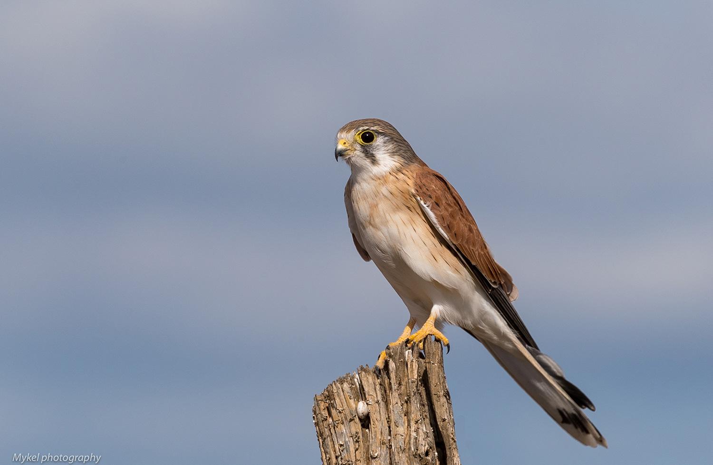 Nankeen Kestrel   Falco cenchroides  Falconidae