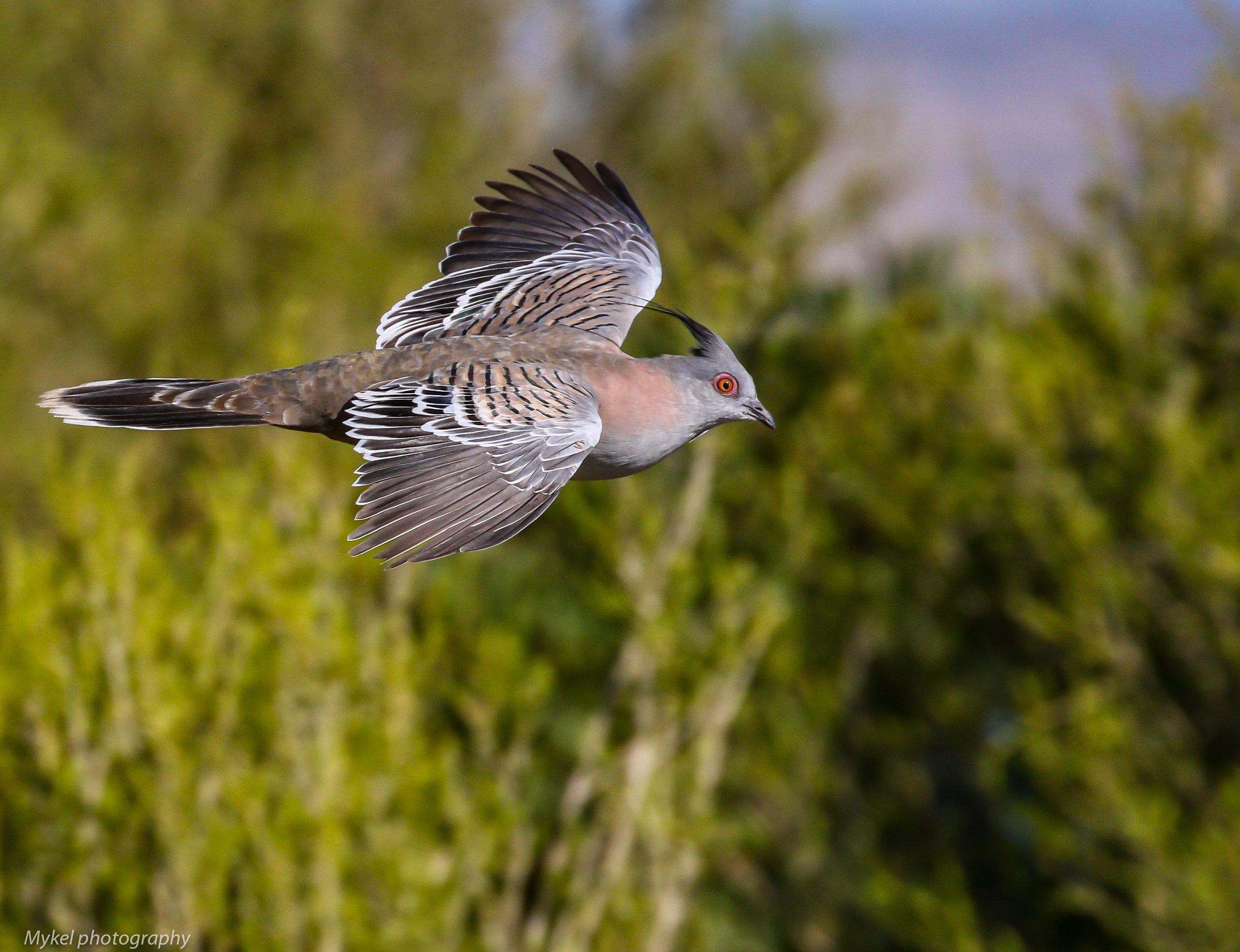 Crested Pigeon   Ocyphaps lophotes  Columbidae