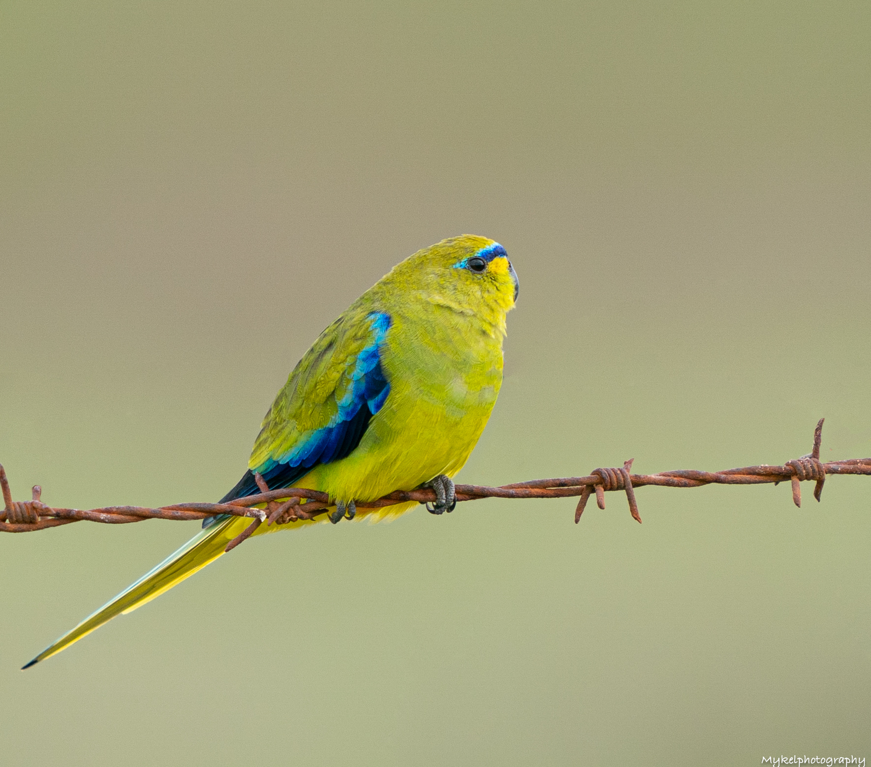 Elegant Parrot on the road to the Reserve