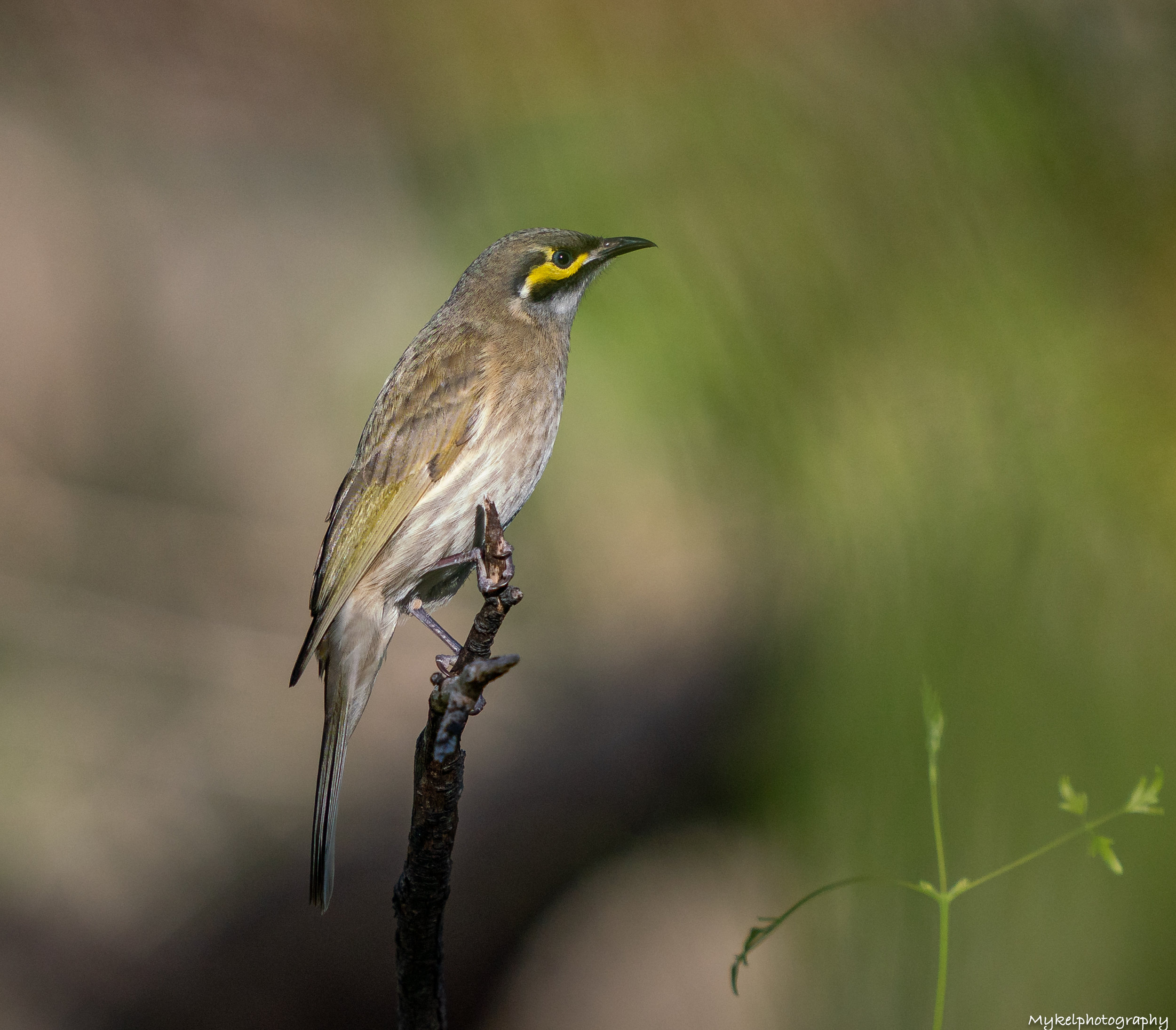 Yellow-faced Honeyeater   Lichenostomus chrysops  Meliphagidae