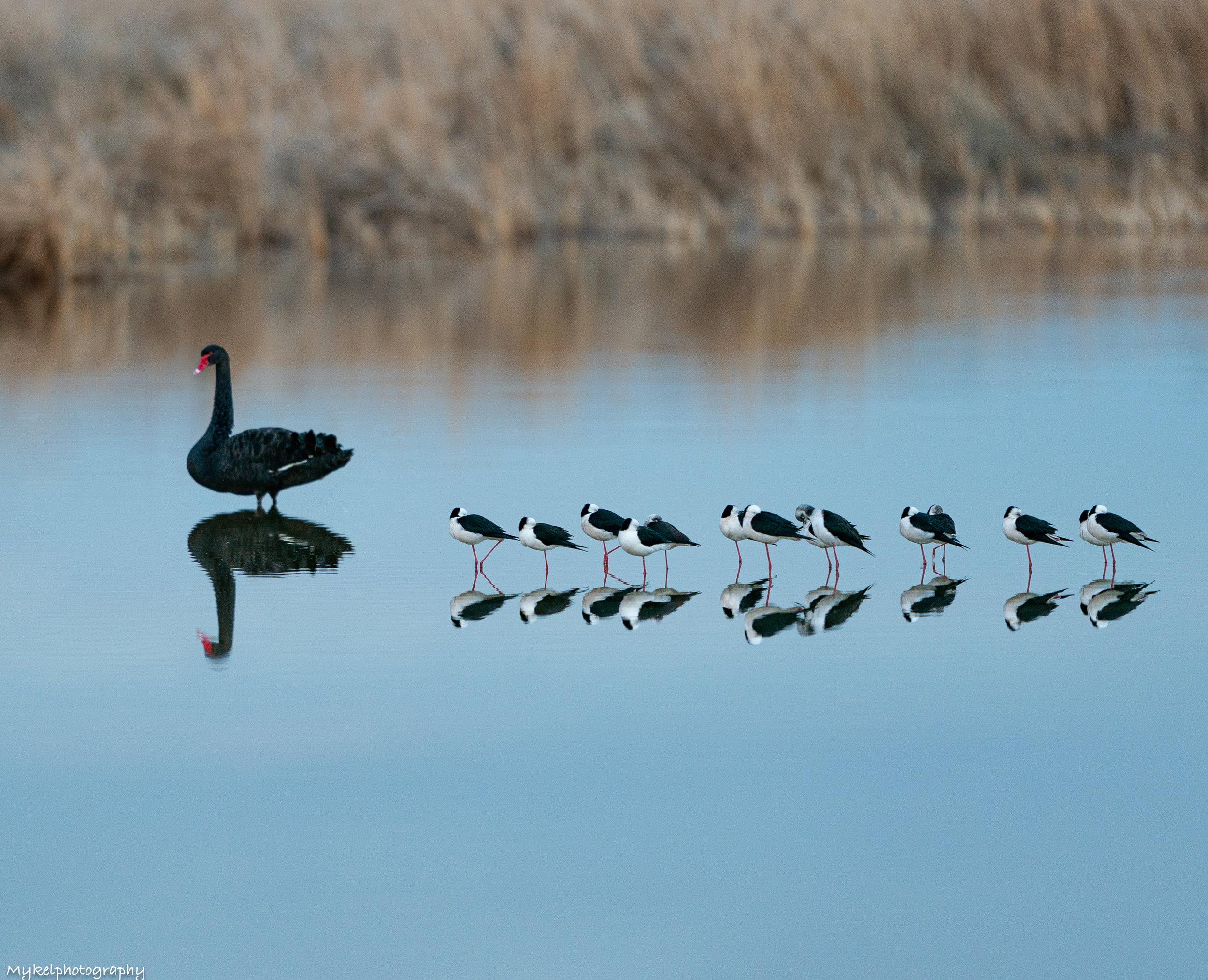 Black Swan & Black winged stilts