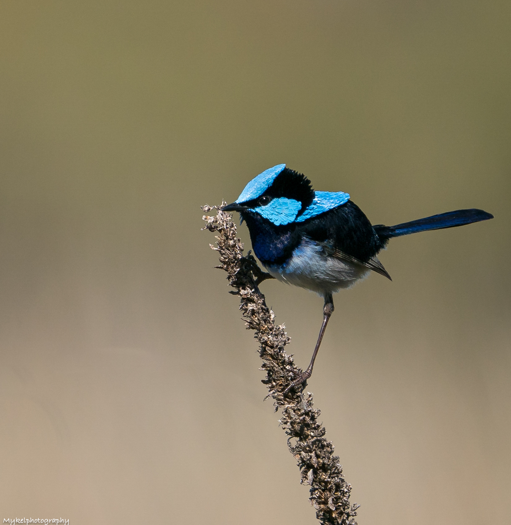 Male Superb Fairy-wren  Malurus cyaneus  Maluridae
