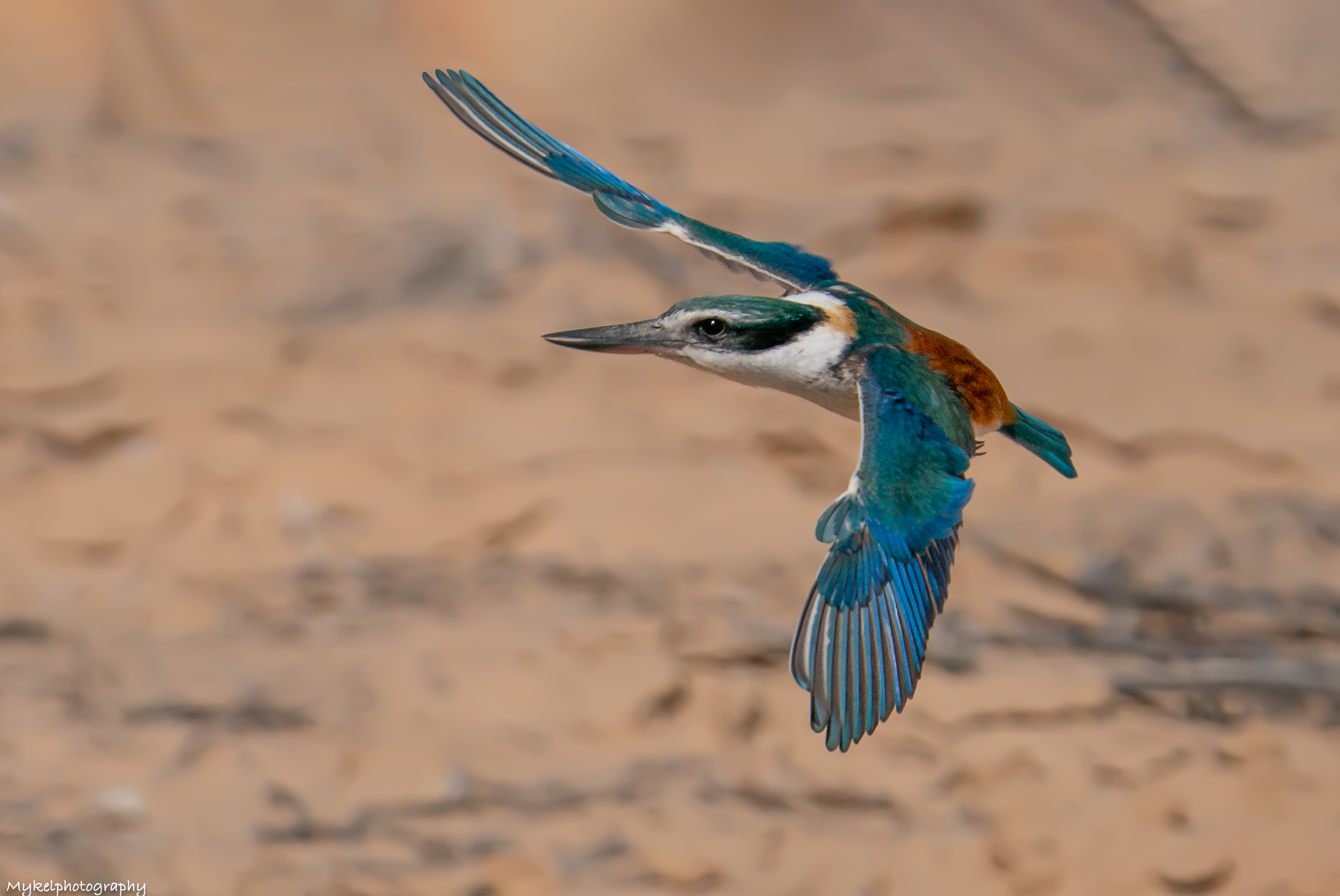 Red-backed Kingfisher  Todiramphus pyrrhopygius