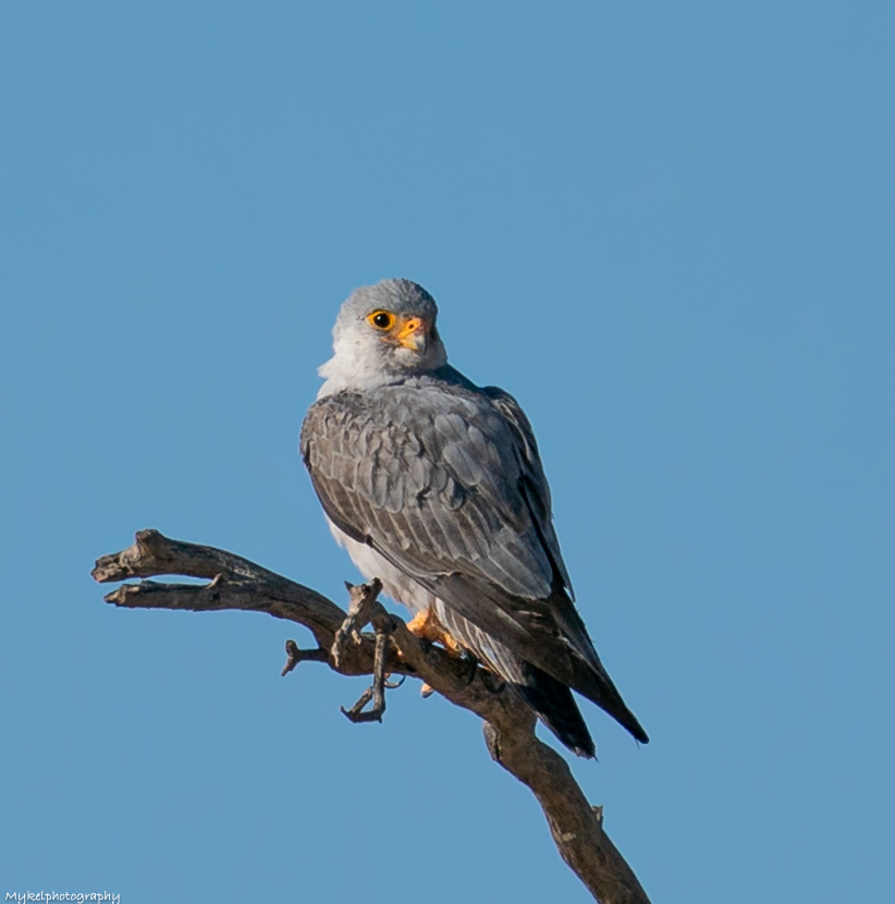 Grey Falcon  Falco hypoleucos   Grey Falcons are one of the rarest and most attractive of our raptors and are eagerly sought after by most birdwatchers. Birds of the inland, they inhabit open country intersected by timbered watercourses, more often in Australia's northern half.