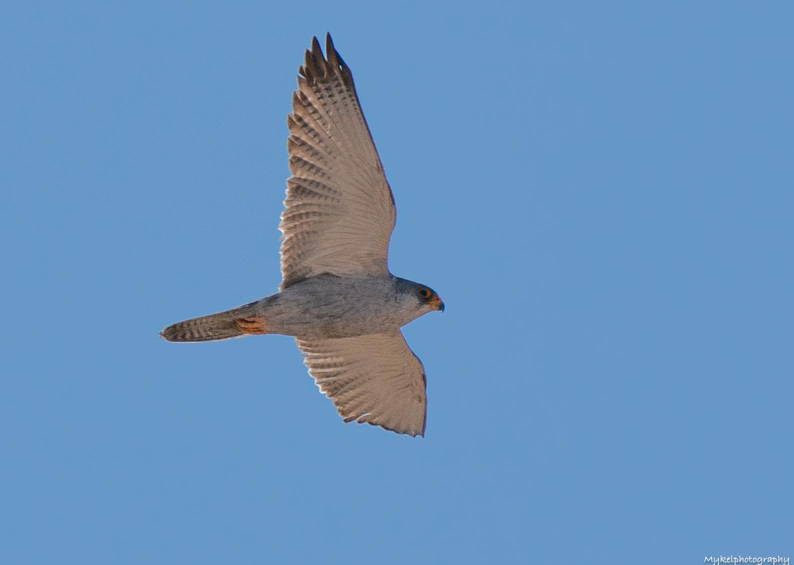 Grey Falcon  Falco hypoleucos