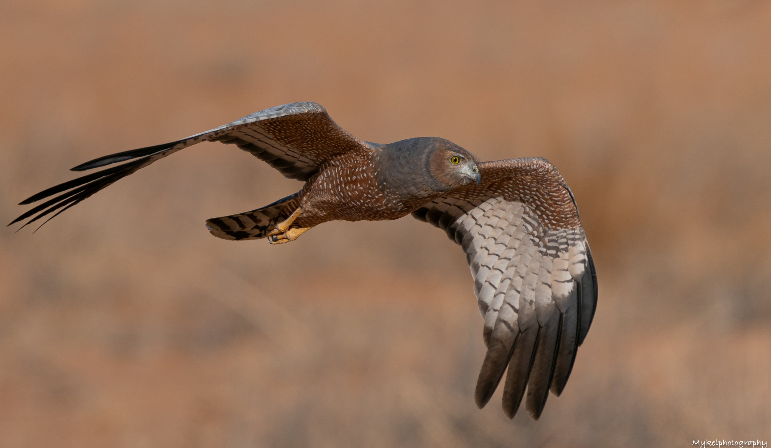 Spotted Harrier  Circus assimilis  Accipitridae  Although it may be recorded almost anywhere in mainland Australia, the stronghold of the Spotted Harrier is the arid and semi-arid zones. By gliding and soaring, harriers slowly quarter above flat or undulating landscapes covered with low or open vegetation, on the lookout for small birds and mammals on the ground, and then dive or drop onto their quarry.