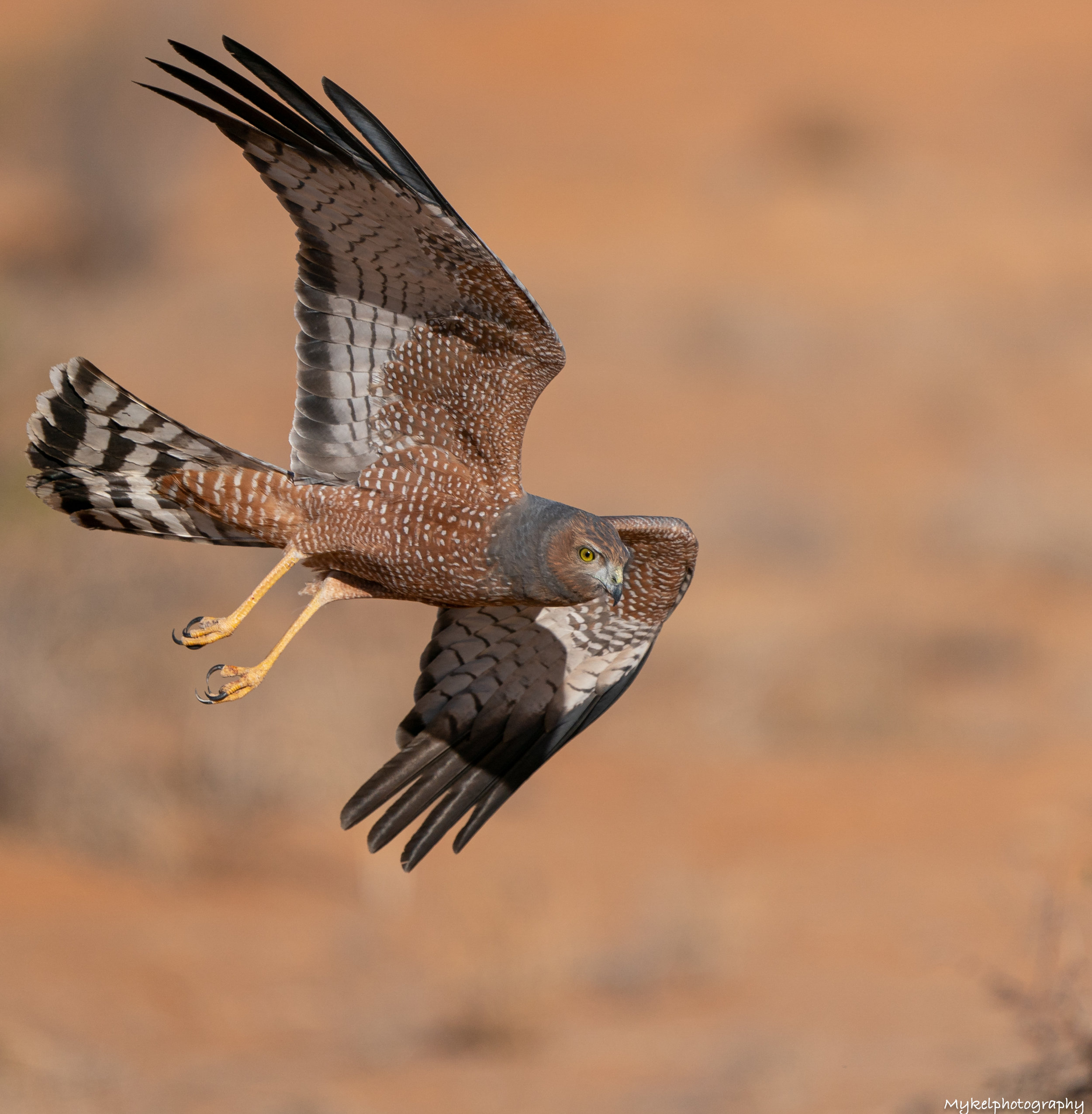 Spotted Harrier  Circus assimilis  Accipitridae