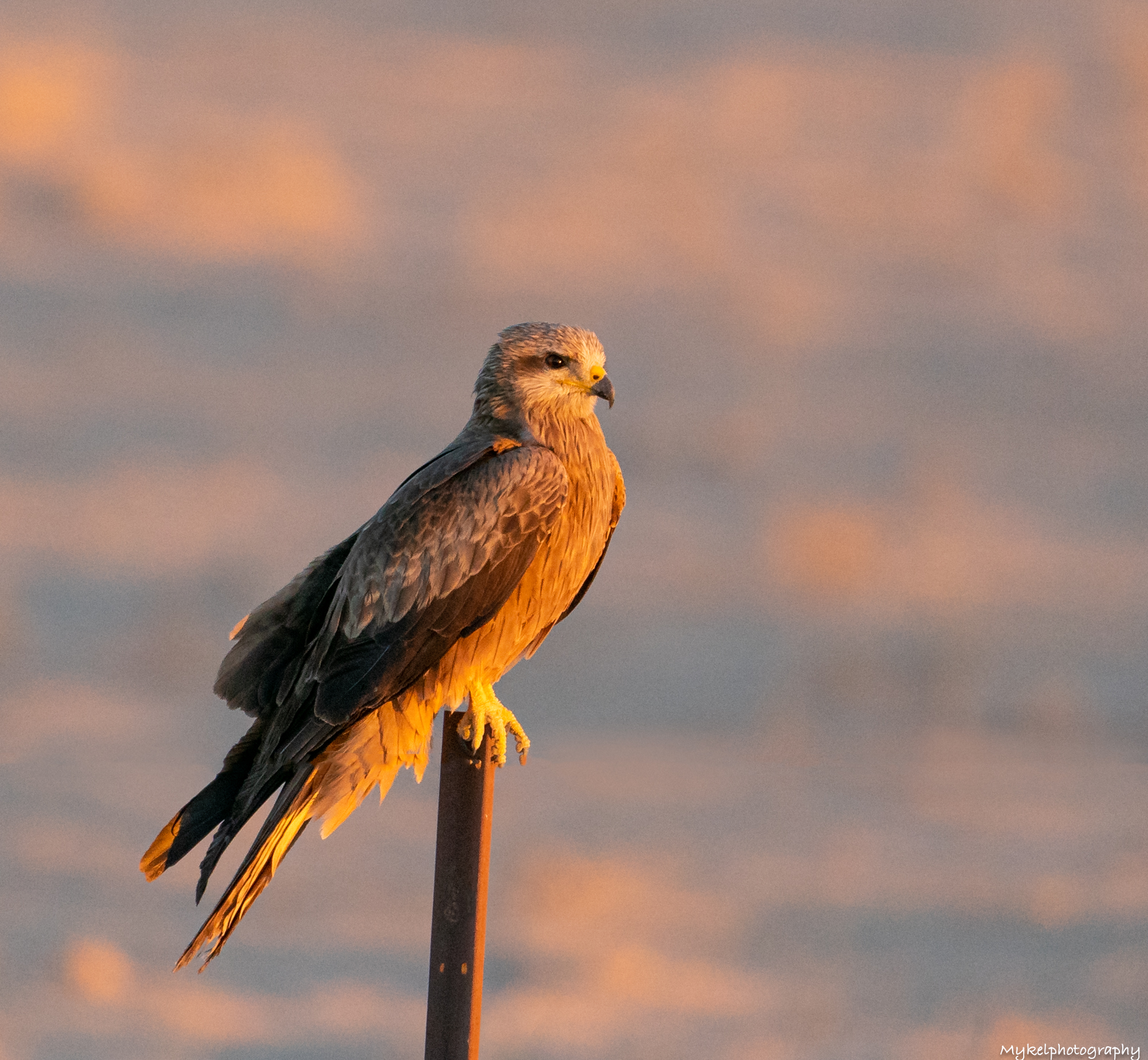 Black Kite  Milvus migrans  Accipitridae  In their natural habitat, Black Kites are spectacular, soaring effortlessly in the wind, their long forked tails constantly twisting to manoeuvre the bird while searching for food on the ground below, or skillfully catching insects on the wing.