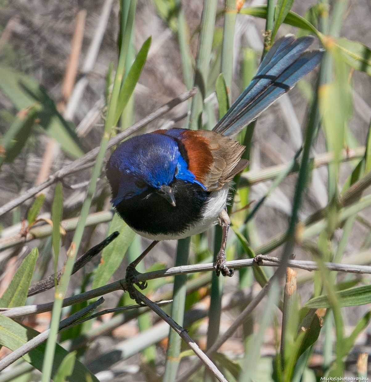 Variegated Fairy-wren  Malurus lamberti  Maluridae  Widespread in the arid and semi-arid zones of mainland Australia, the Variegated Fairy-wren is also recorded in tropical, sub-tropical and temperate regions, where it inhabits a wide variety of dense thickets.