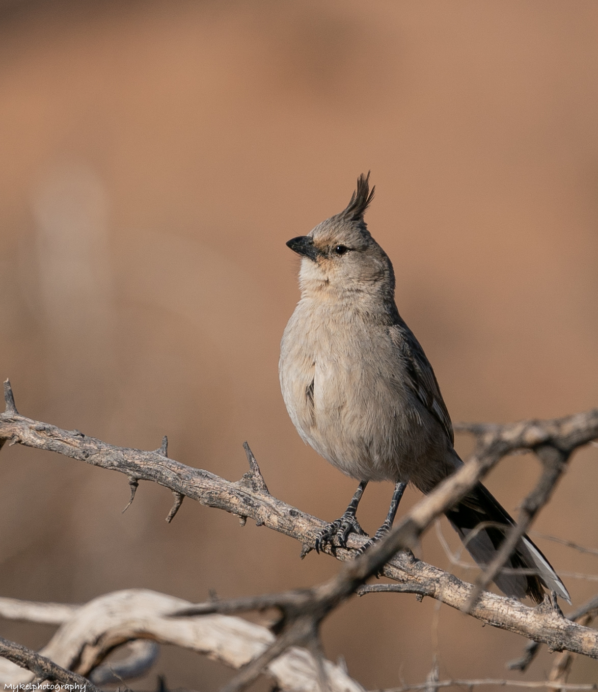 Chirruping Wedgebill  Psophodes cristatus   Chiming Wedgebills prefer much denser shrubland -The two species of Wedgebill are so similar in appearance that they were still regarded as one as late as 1973. Identifying them on plumage alone is extremely difficult and the best reference in this regard is HANZAB (Handbook of Aust. NZ and Antarctic Birds). Basically the Chiming occurs in the west (of Aust.) and the Chirruping in the east but both species occur in S.A. and far W Qld. - fortunately their ranges barely overlap in the northern Simpson Desert and near Oodnadatta, so on the whole which bird you are watching is dictated by where you are watching it.