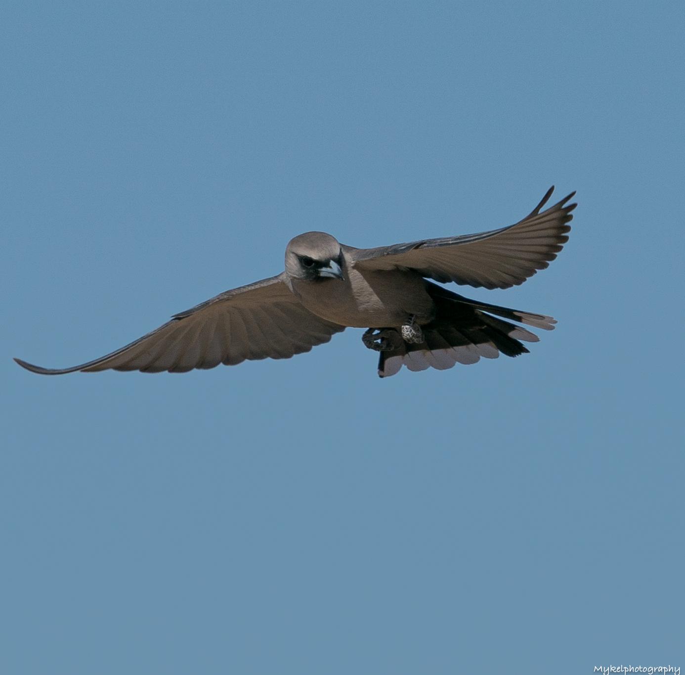 Black-faced Woodswallow  Artamus cinereus  Artamidae