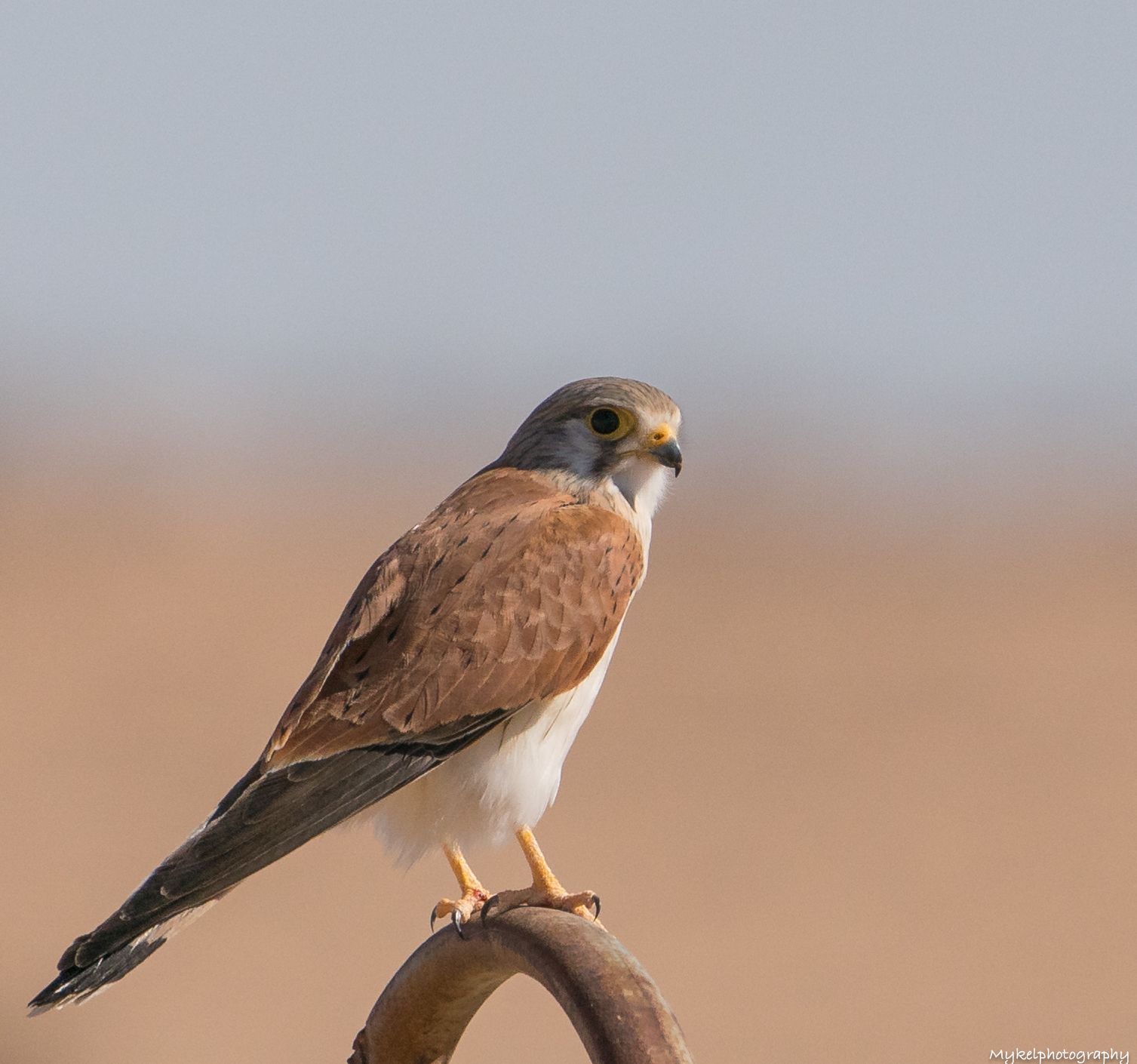 Nankeen Kestrel  Falco cenchroides  Falconidae  The Nankeen Kestrel is widespread in Australia, though it occurs only sporadically in Tasmania. Kestrels usually occur in open country, such as grasslands and farmland, and avoid dense forests unless they have been opened up by clearing. They hunt a variety of prey, including small mammals (especially mice), small birds, lizards and insects.
