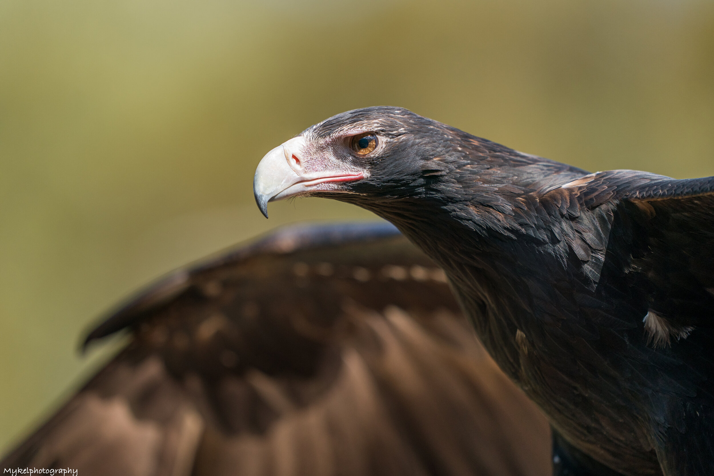 Wedge-tailed Eagles    (Aquila audax)