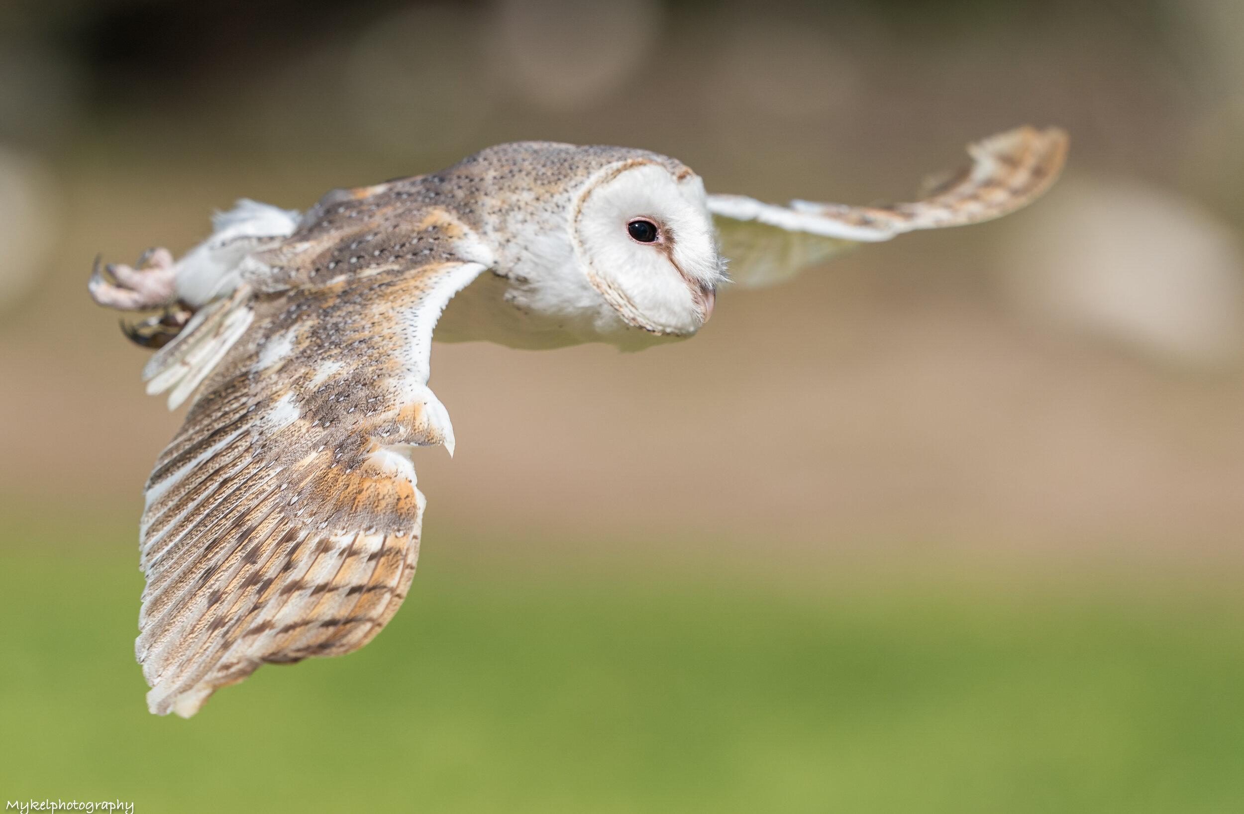 Barn Owl   Tyto alba  Tytonidae
