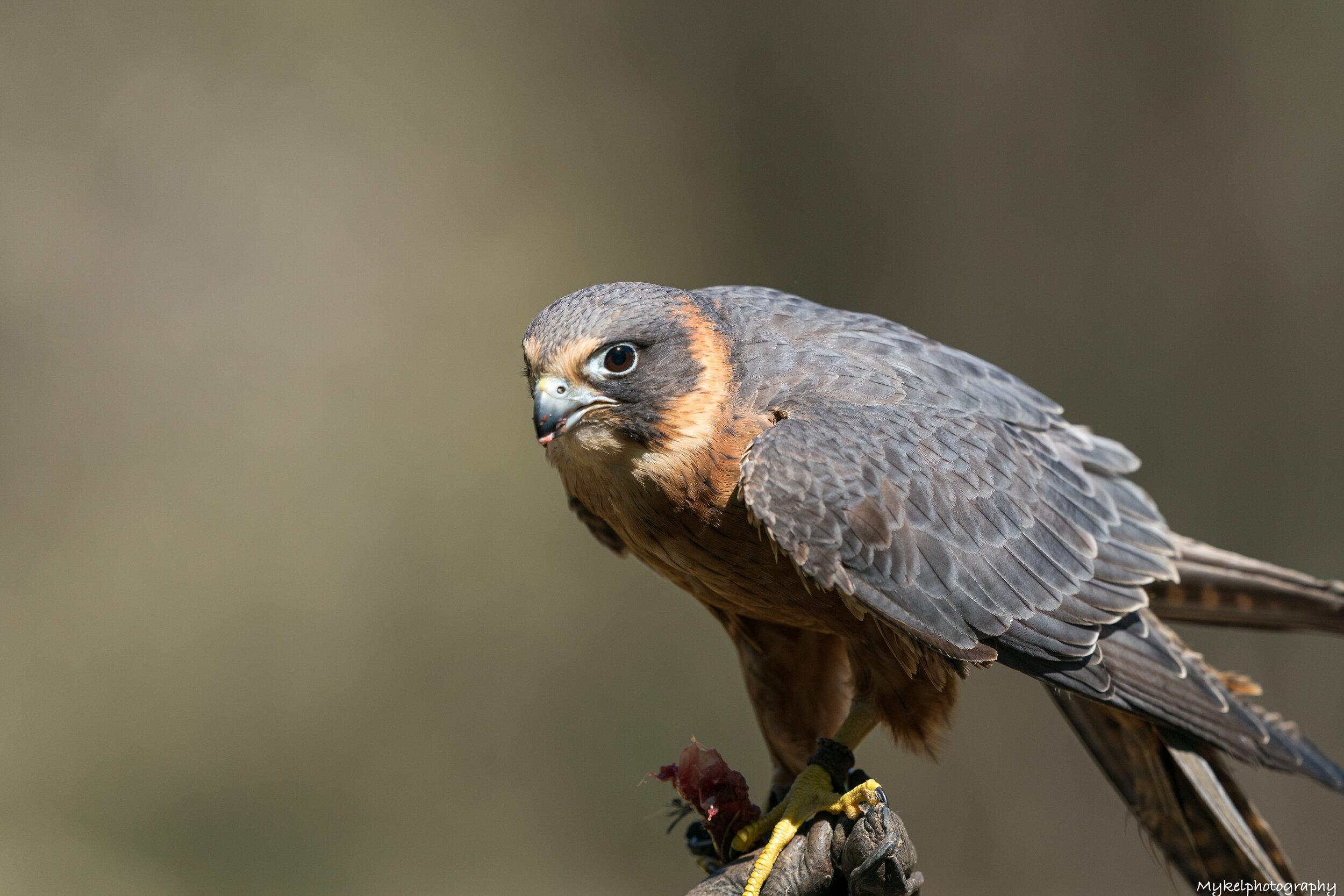 Australian Hobby   Falco longipennis  Falconidae