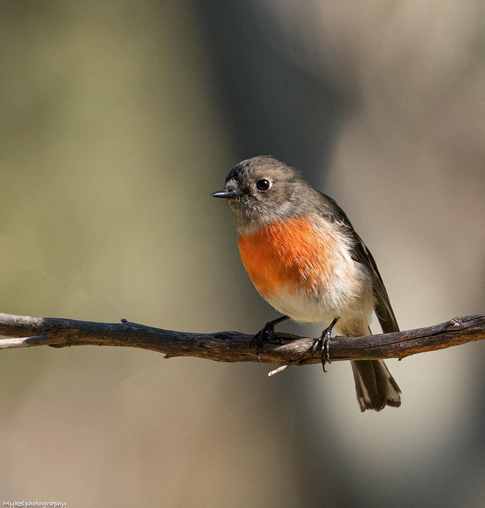 Scarlet Robin   Petroica boodang  Petroicidae