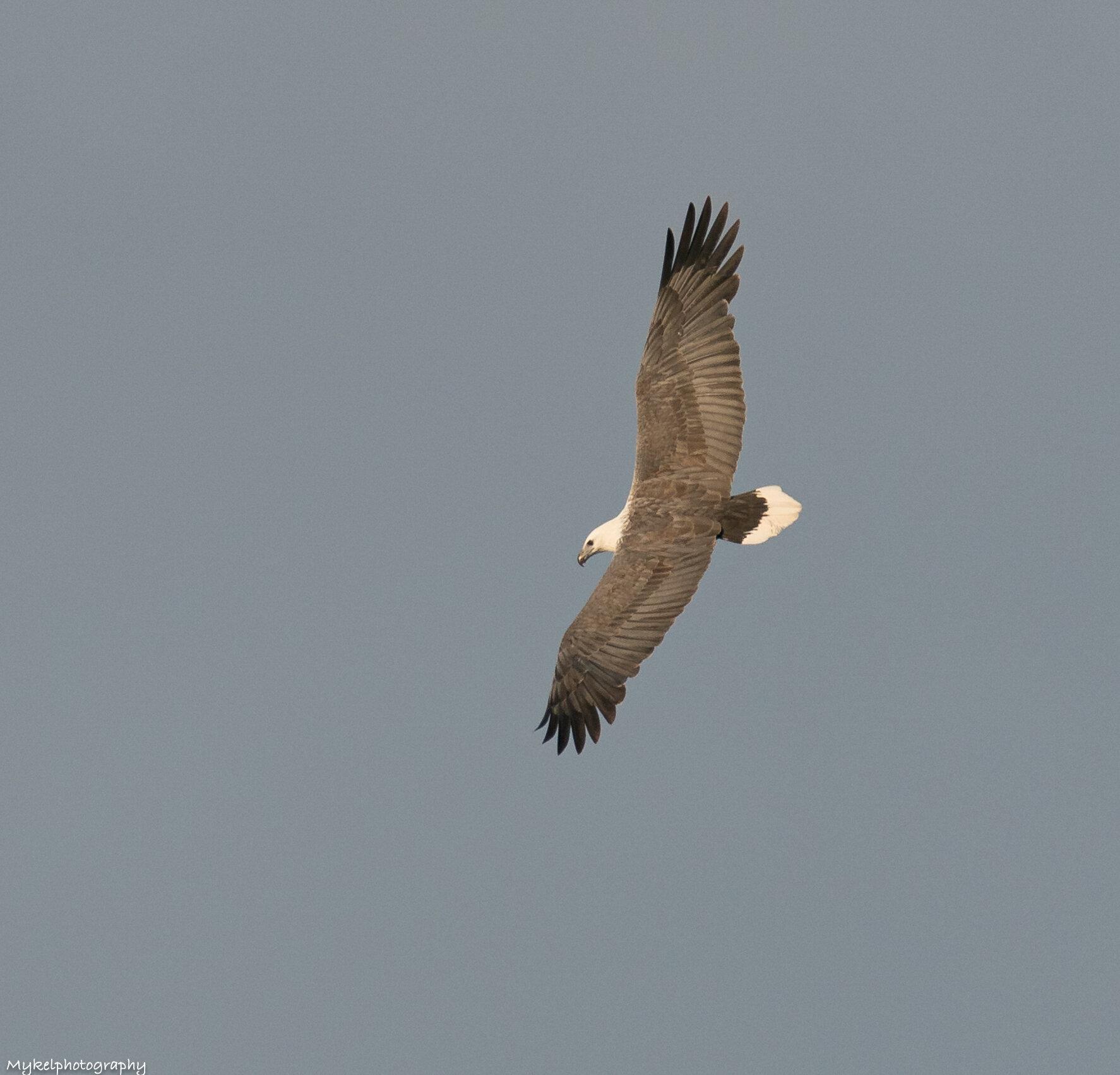 White-bellied Sea-Eagle   Haliaeetus leucogaster  Accipitridae