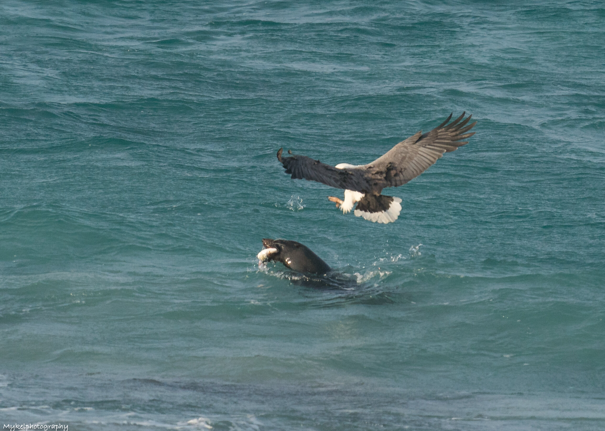 White-bellied Sea-Eagle swooping down to steal a fish off a Seal