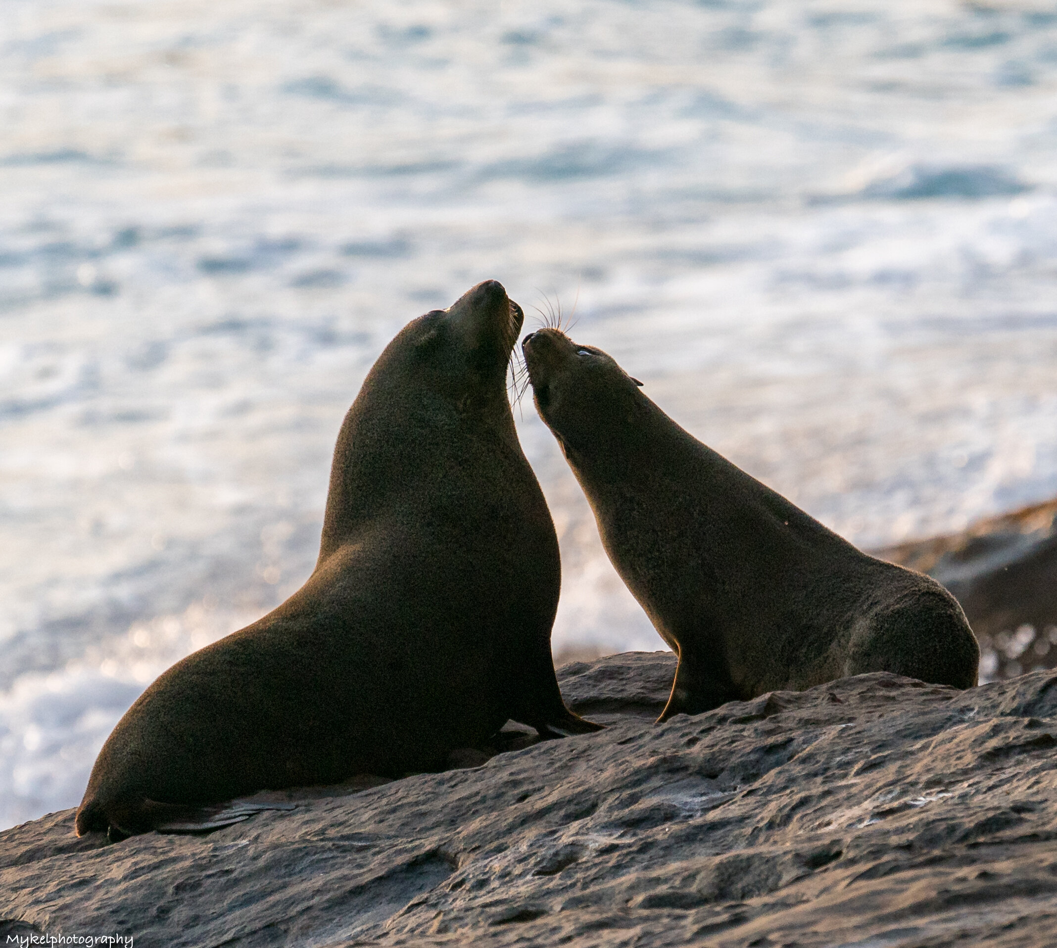Fur-seals often play among the rocks. These dark brown seals feed at sea but return to land to rest and breed. In summer, each of the large males establishes a territory with a number of females.