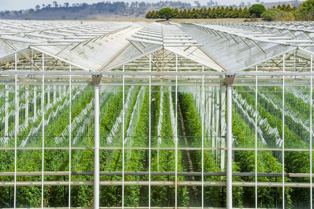 Blush® Tomatoes Glasshouse(2)_BODY_0.jpg