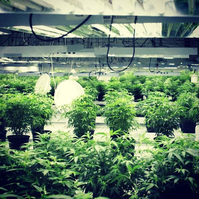 The best time to plant a tree is 20 years ago, the 2nd best time is now. When's the best time to start preparing for medicinal marijuana growth in the UK?  #hydroponics #medicinalmarijuana #epilepsy #green
