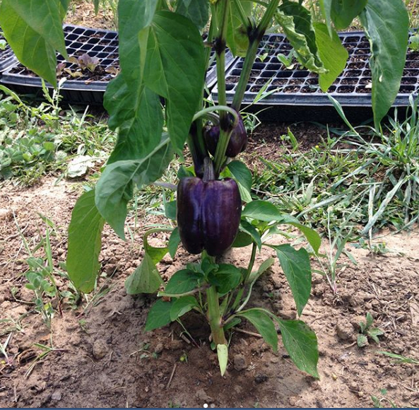 purple pepper.jpg